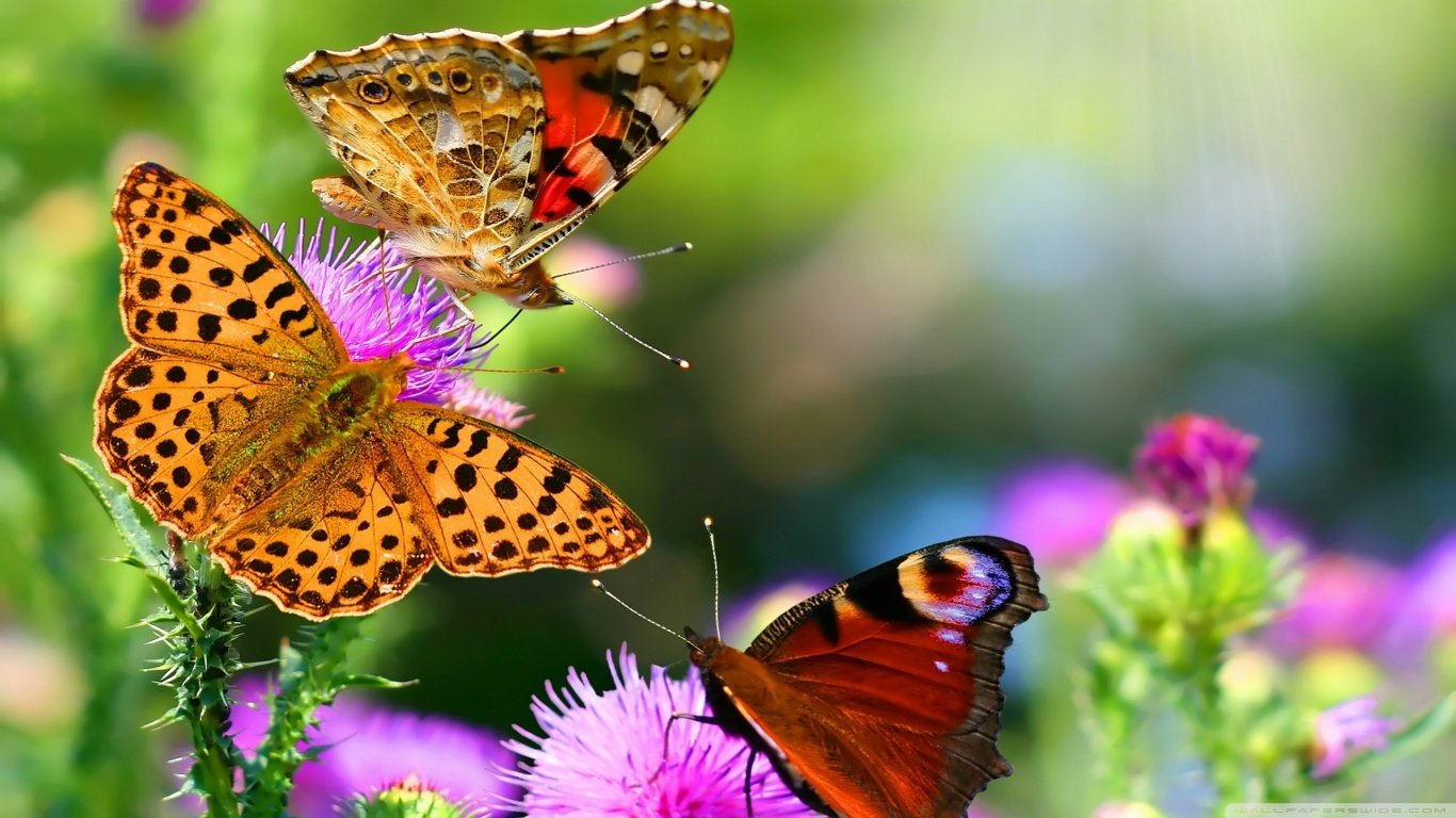 Download hd 1366x768 Butterfly PC background ID:167573 for free