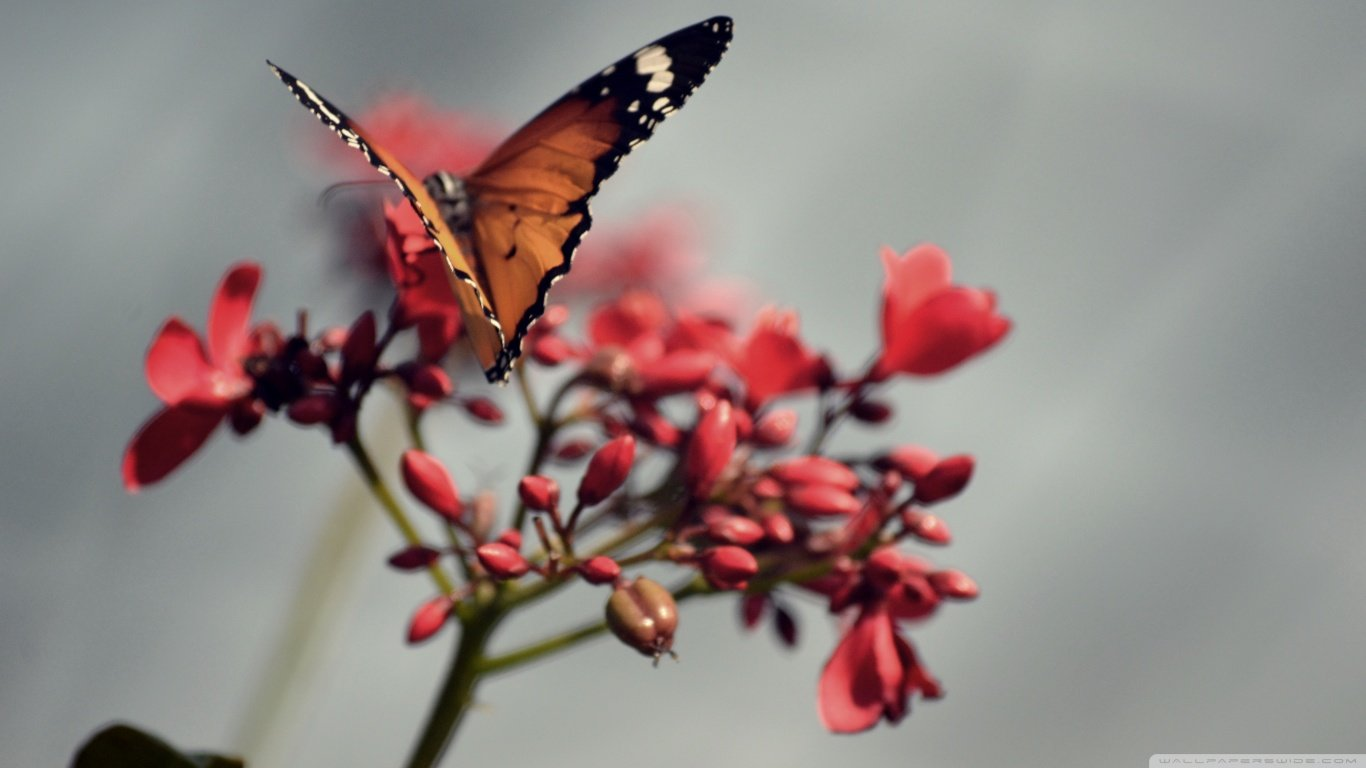 Download hd 1366x768 Butterfly PC wallpaper ID:167528 for free