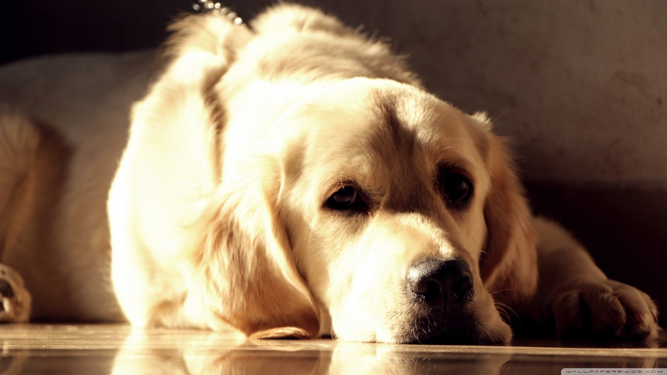 Download laptop Golden Retriever desktop wallpaper ID:211850 for free