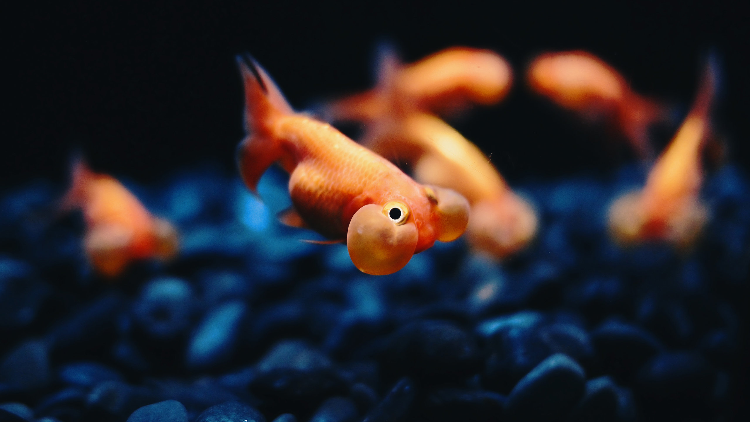 Free Goldfish high quality background ID:464115 for hd 2560x1440 PC