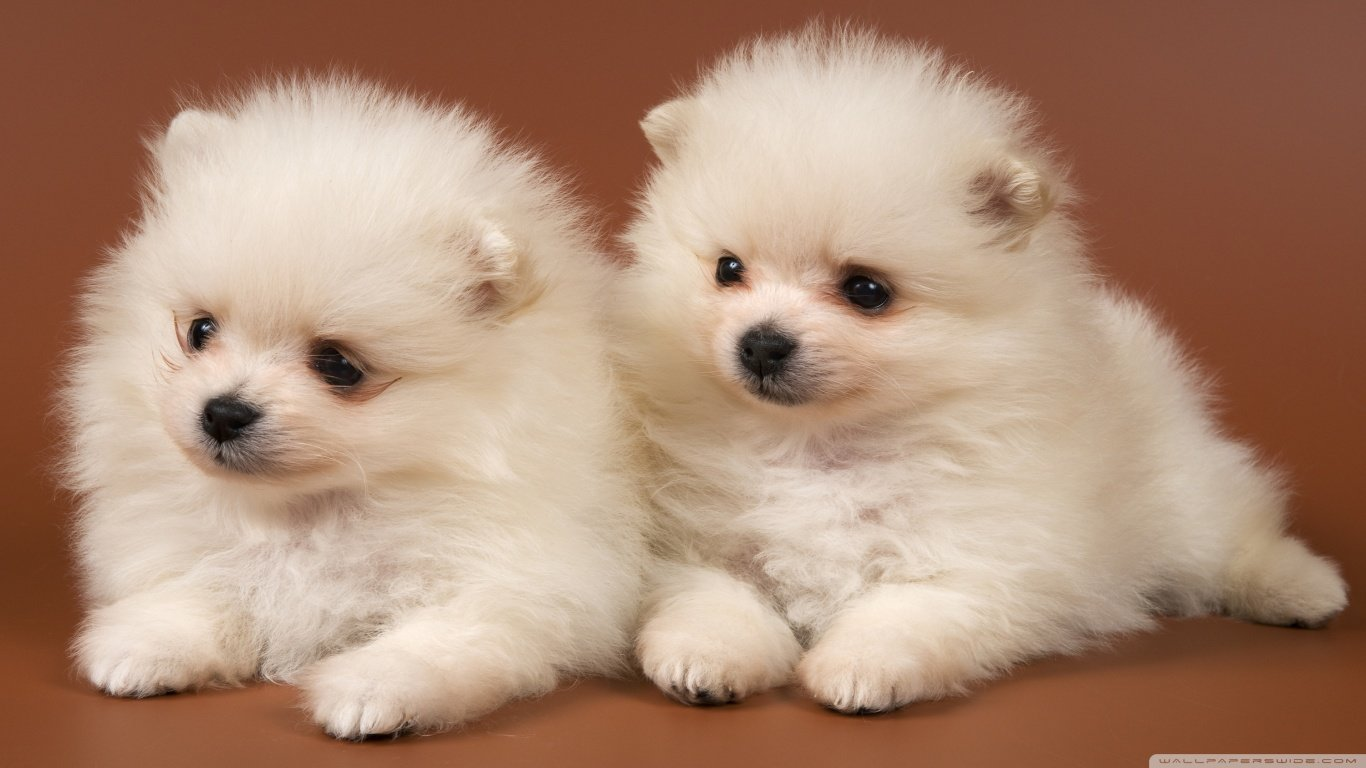 Free Pomeranian high quality background ID:184959 for laptop desktop