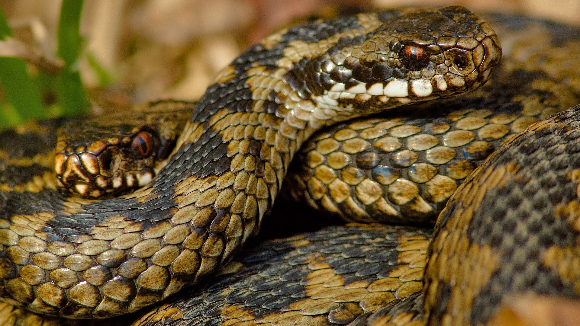 Best Snake wallpaper ID:137214 for High Resolution 1080p PC