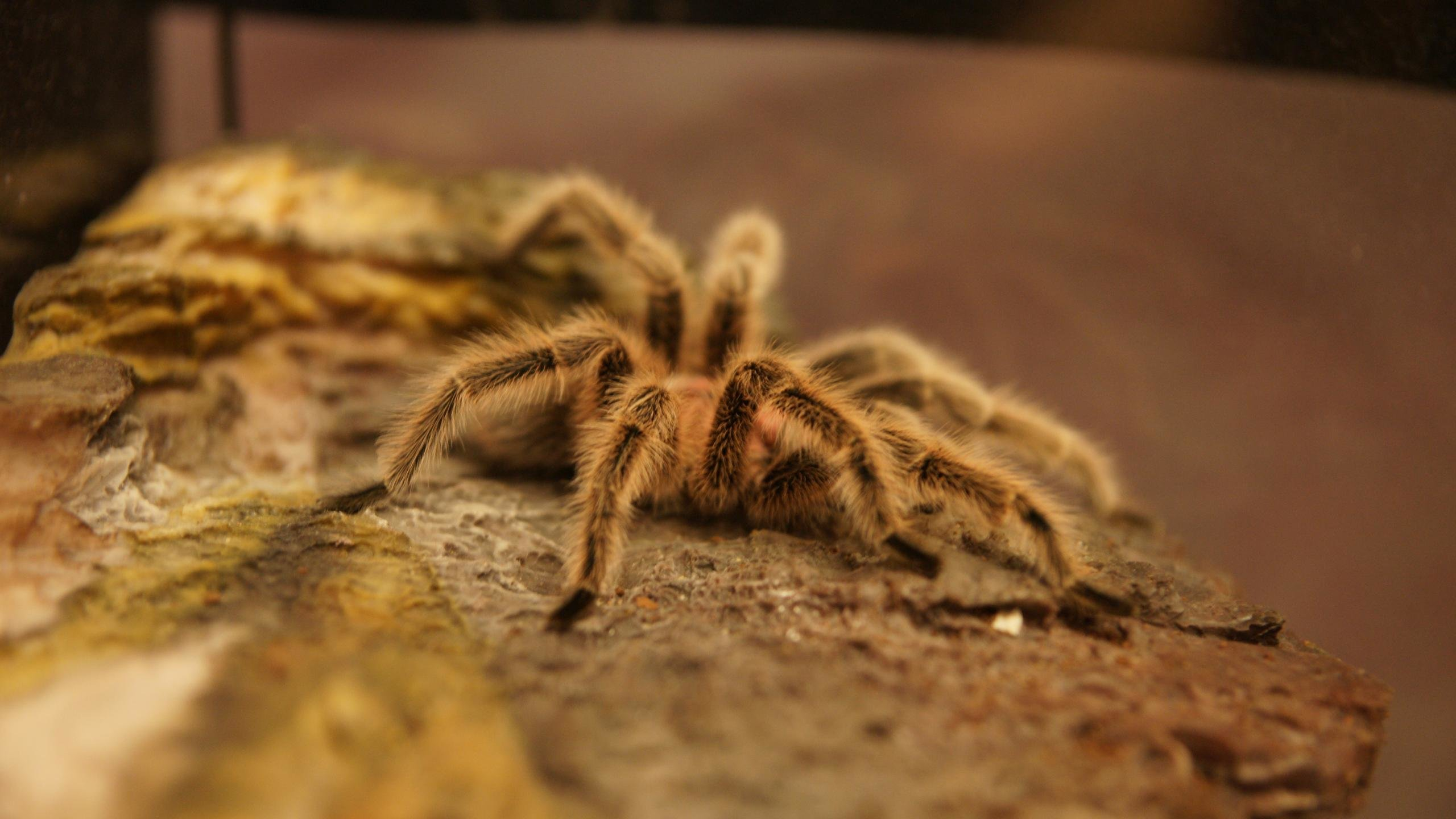 Best Tarantula background ID:409555 for High Resolution hd 2560x1440 desktop