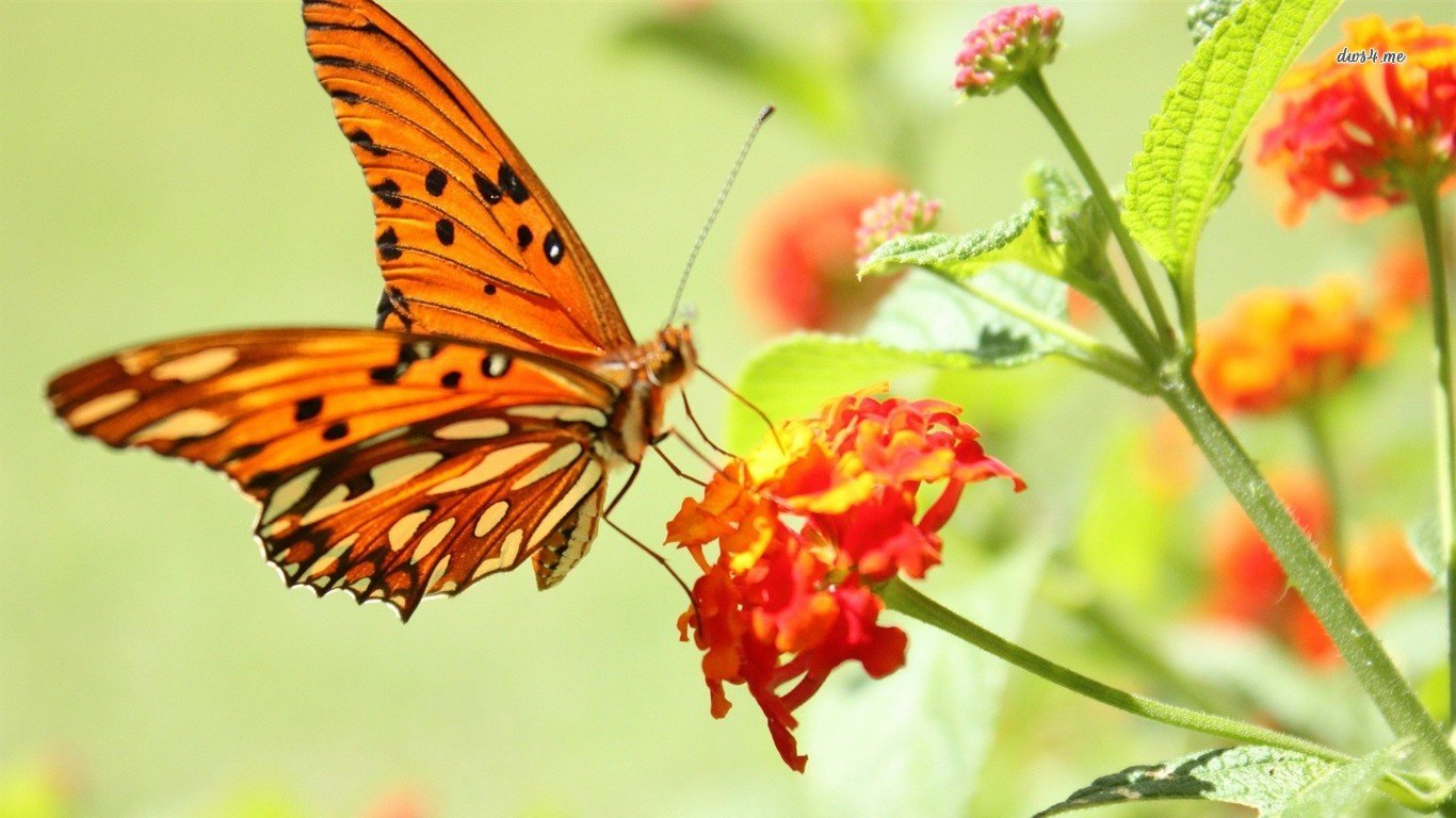 Free Butterfly high quality wallpaper ID:167714 for 1366x768 laptop desktop