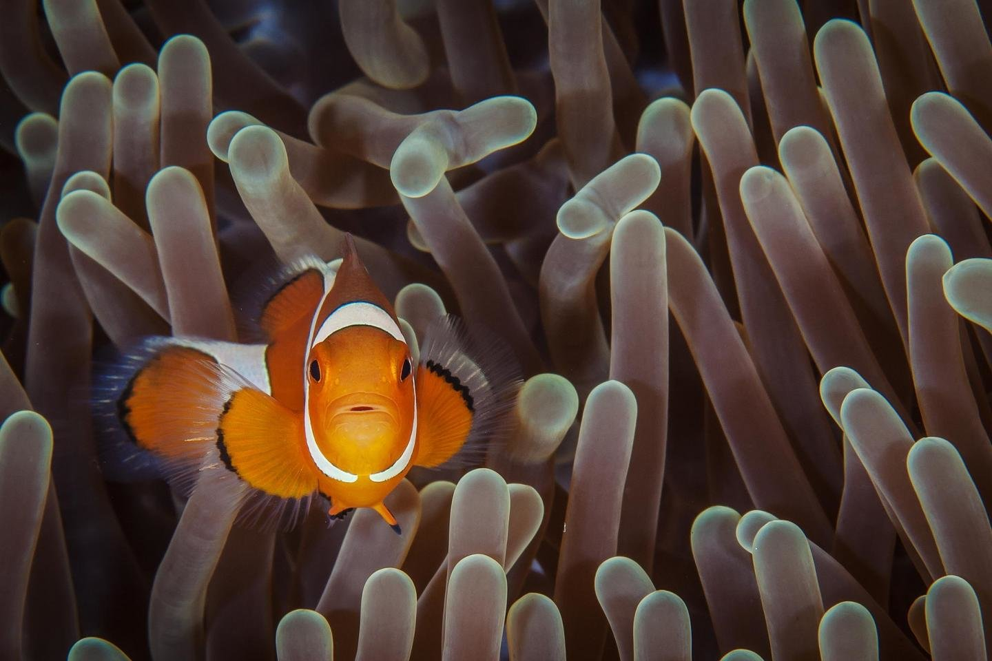 Free download Clownfish background ID:53266 hd 1440x960 for PC