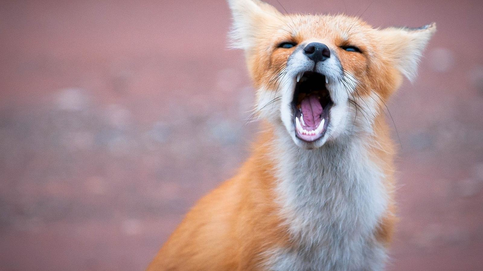 Awesome Fox free wallpaper ID:58956 for hd 1600x900 desktop