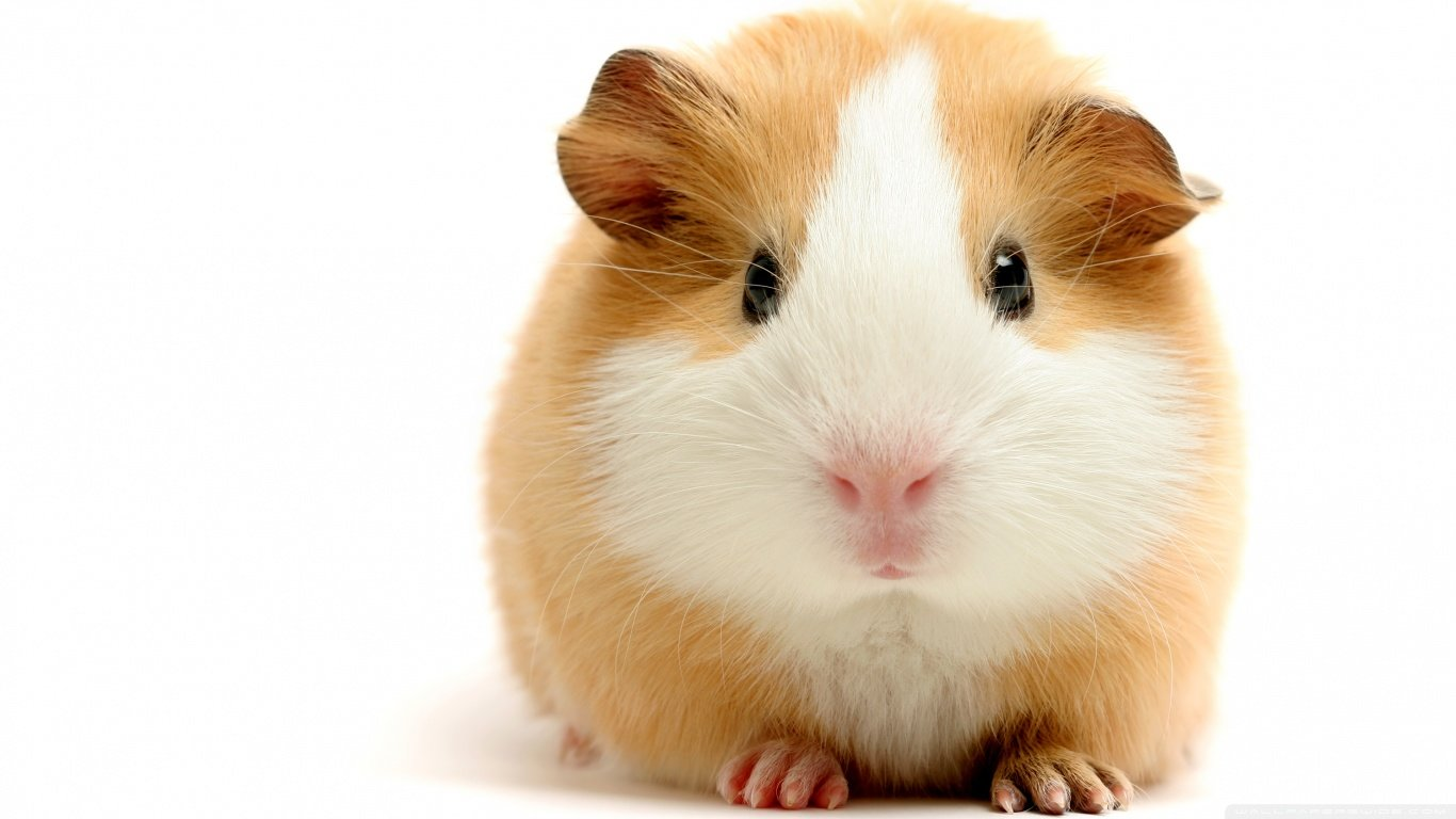 Awesome Guinea Pig free background ID:270949 for laptop computer