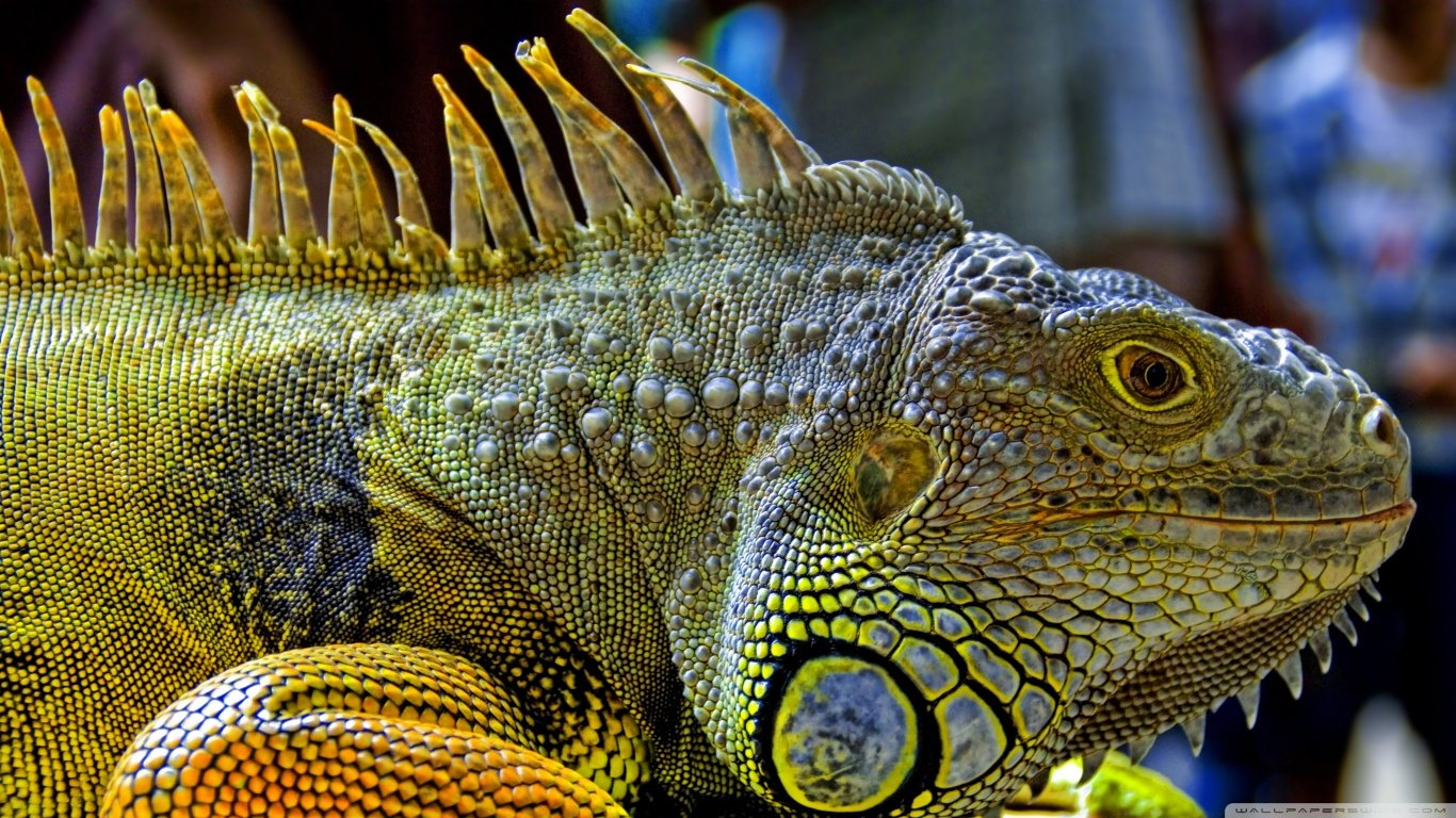 Awesome Iguana free background ID:380913 for hd 1366x768 PC
