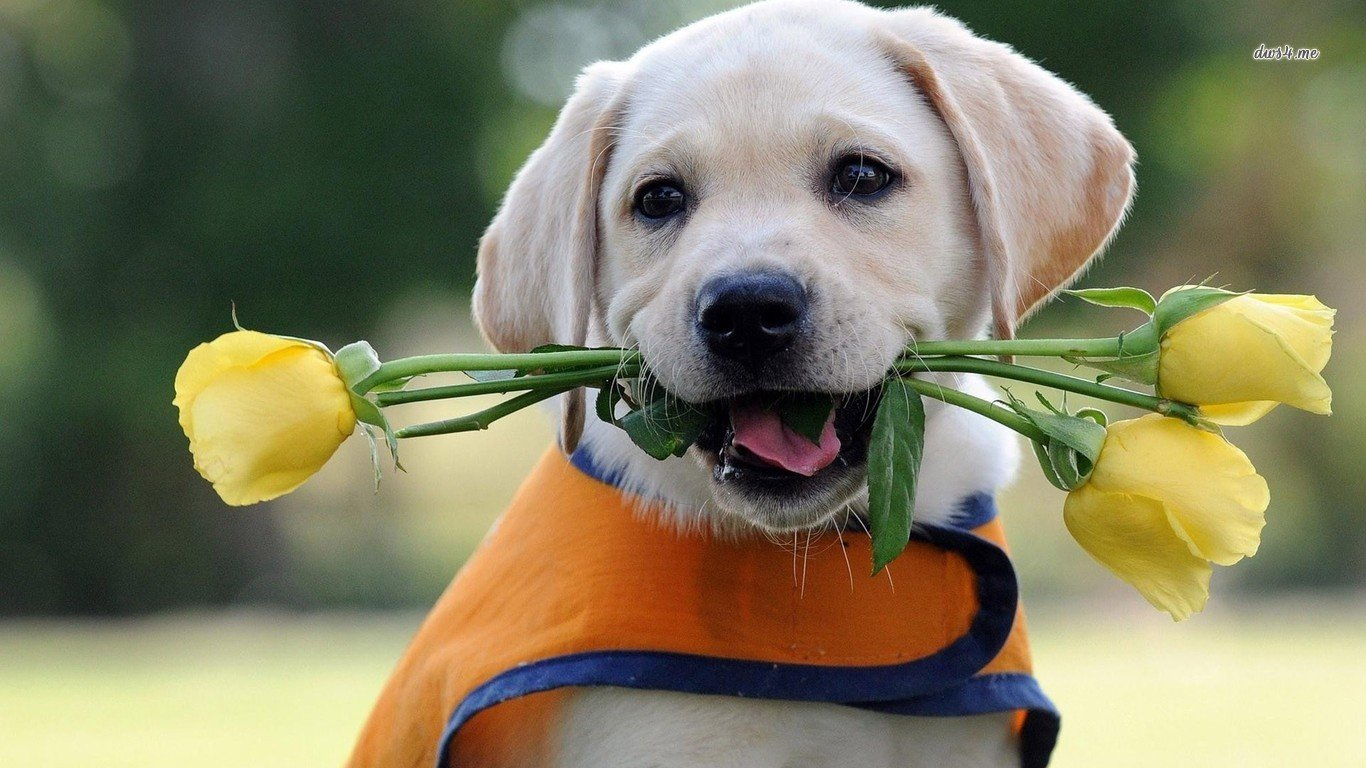 Awesome Labrador free background ID:421646 for 1366x768 laptop PC