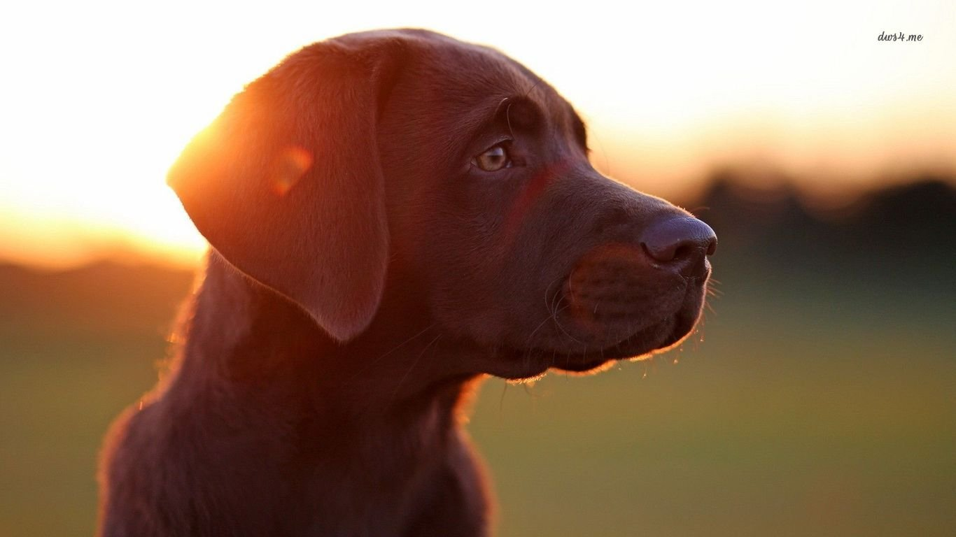 Free download Labrador wallpaper ID:421643 laptop for computer