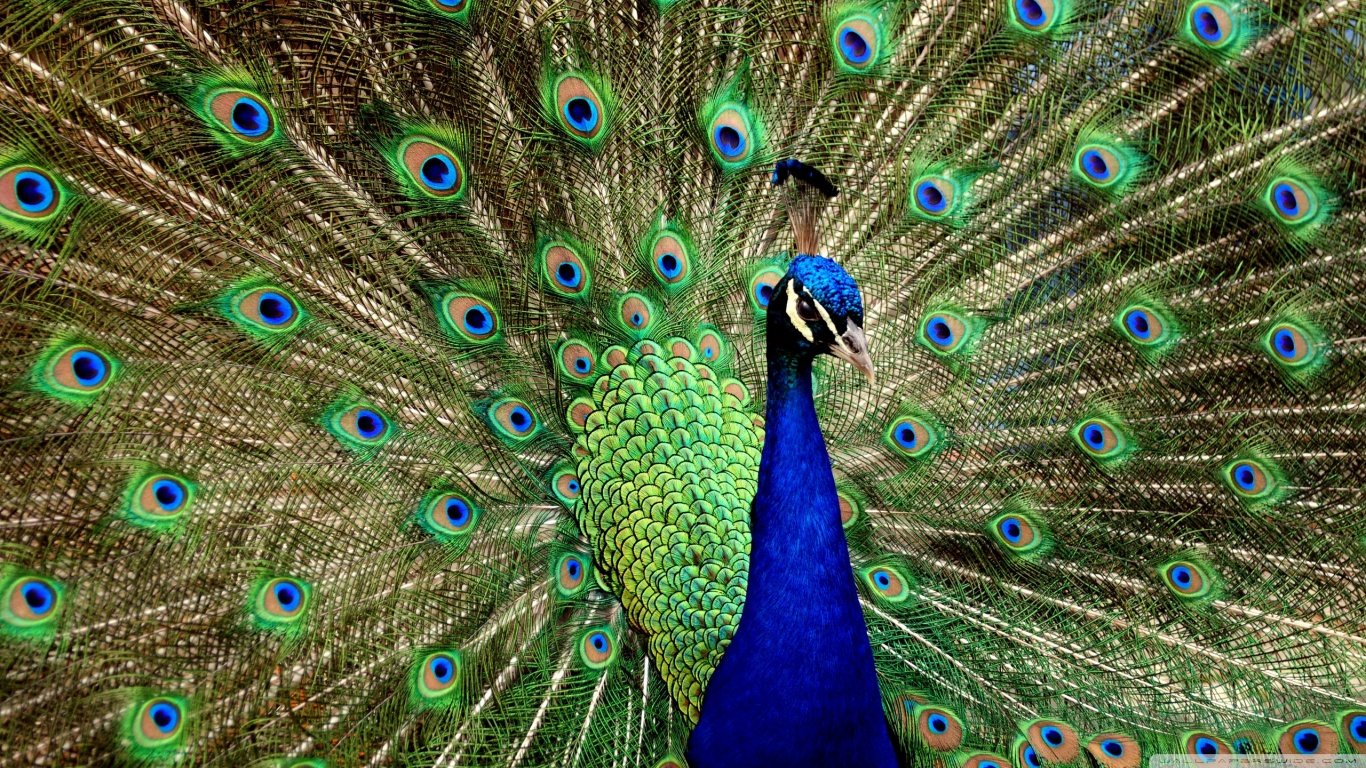 Free download Peacock wallpaper ID:151774 1366x768 laptop for desktop