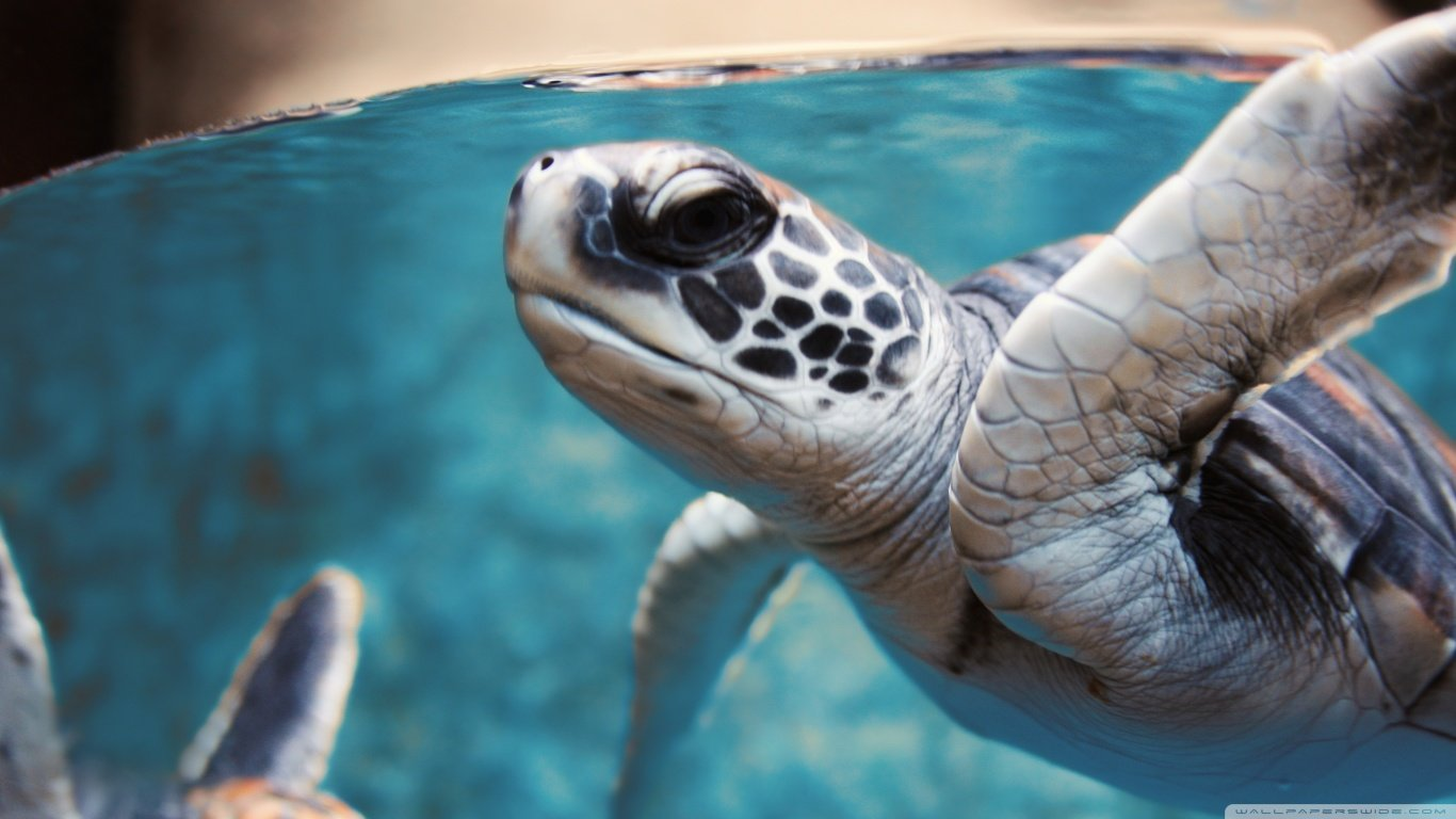 High resolution Sea Turtle laptop wallpaper ID:150747 for PC