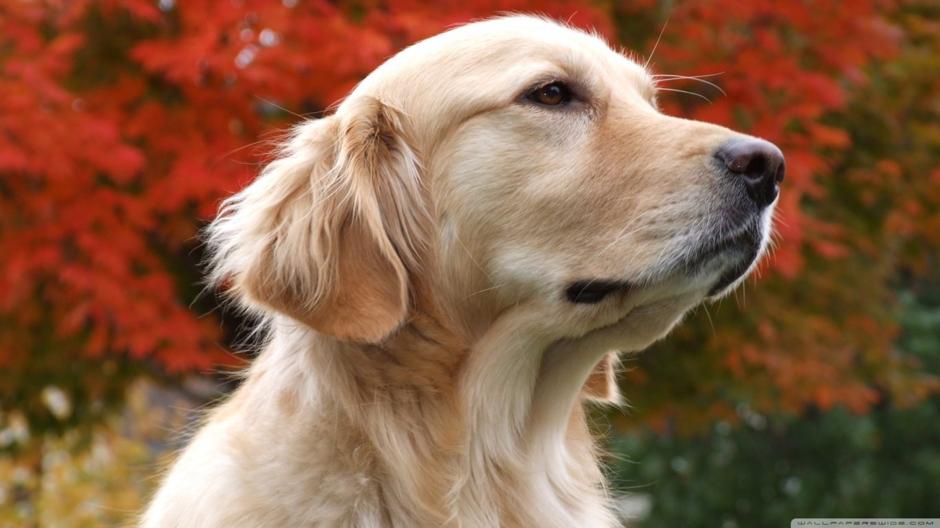 Awesome Golden Retriever free wallpaper ID:211815 for hd 1366x768 PC