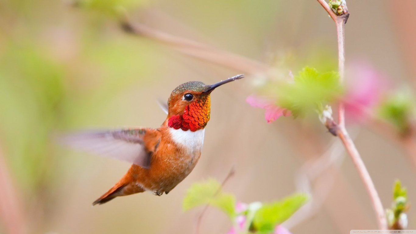 Free Hummingbird high quality background ID:215830 for 1366x768 laptop PC