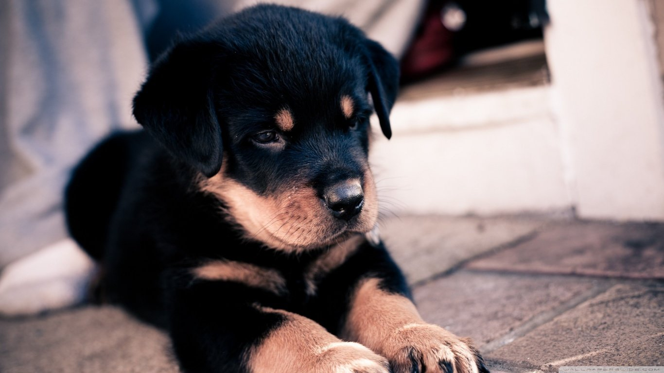 High resolution Rottweiler 1366x768 laptop background ID:68572 for PC
