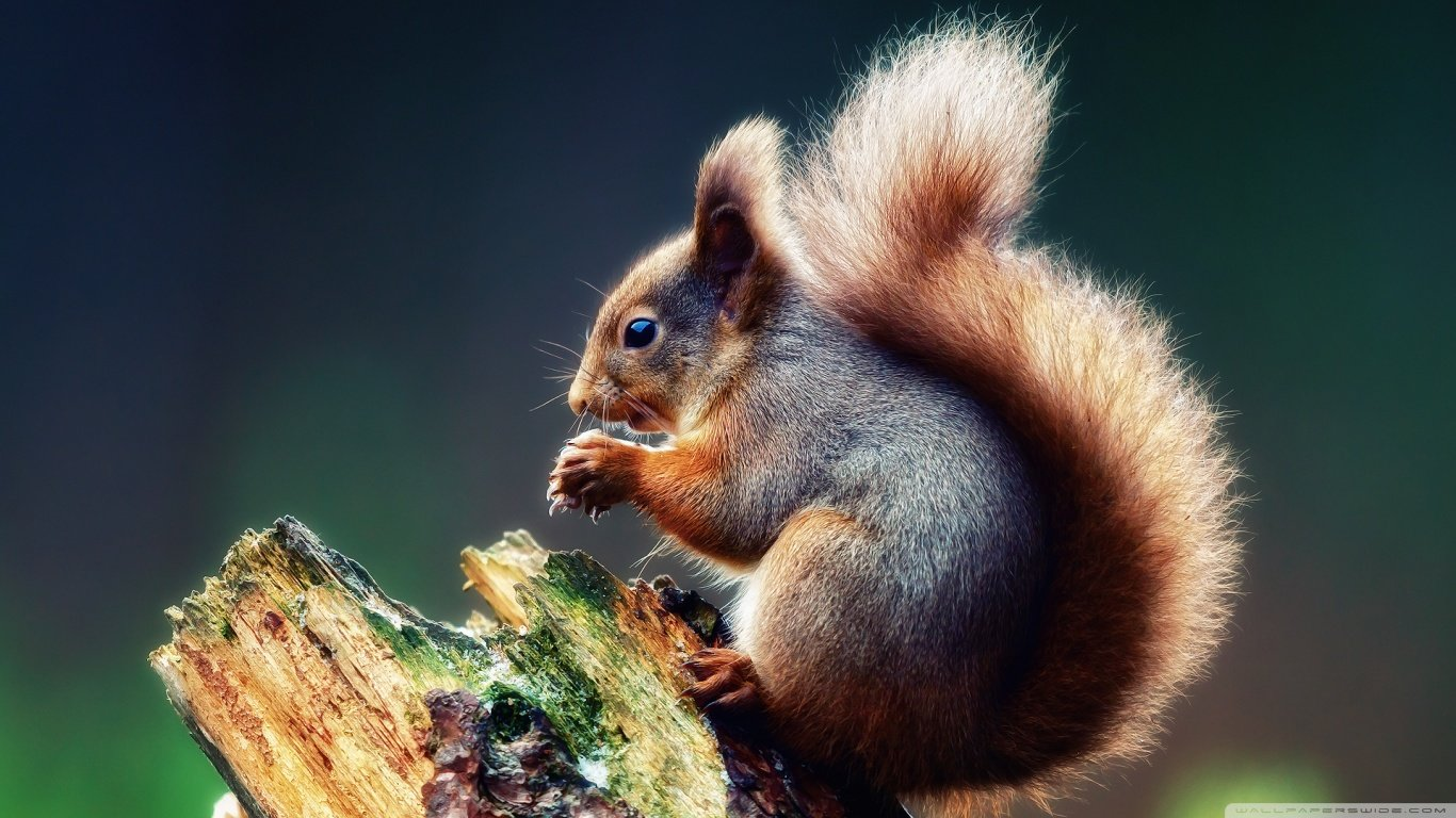 Download hd 1366x768 Squirrel desktop background ID:311540 for free