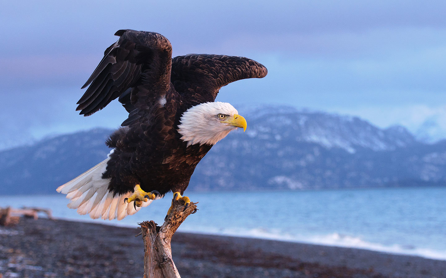 High resolution American Bald Eagle hd 1440x900 wallpaper ID:68655 for PC