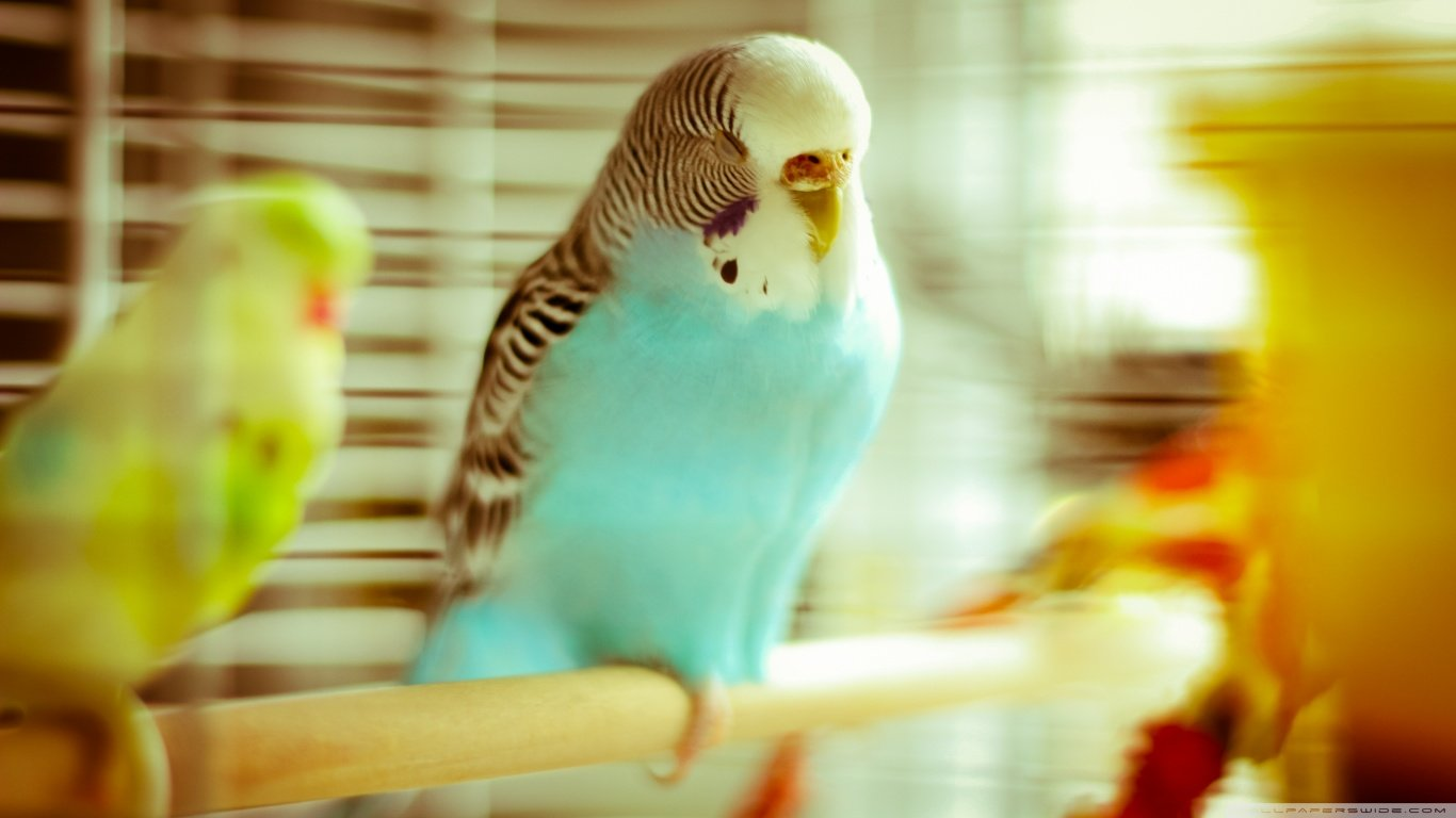 Free Budgerigar high quality wallpaper ID:32567 for 1366x768 laptop desktop