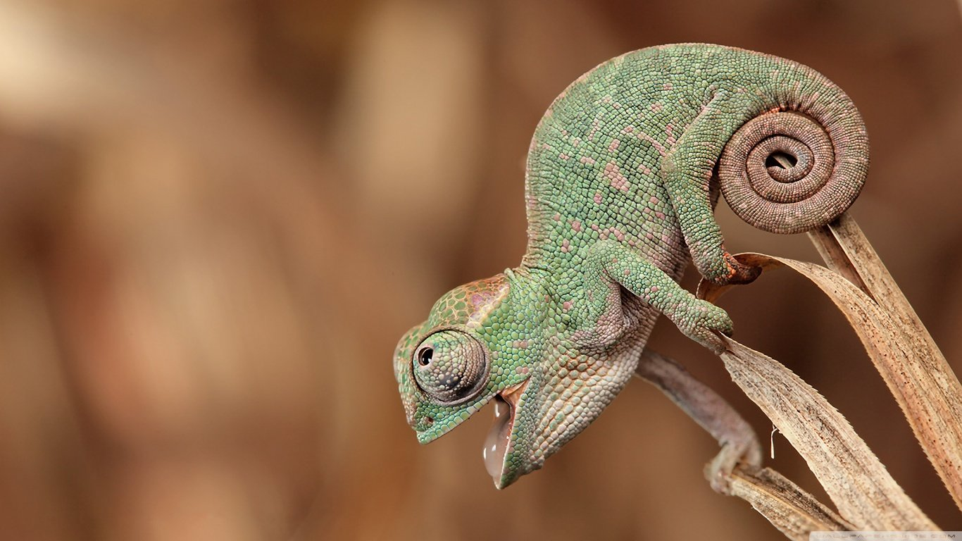 High resolution Chameleon hd 1366x768 wallpaper ID:462451 for desktop