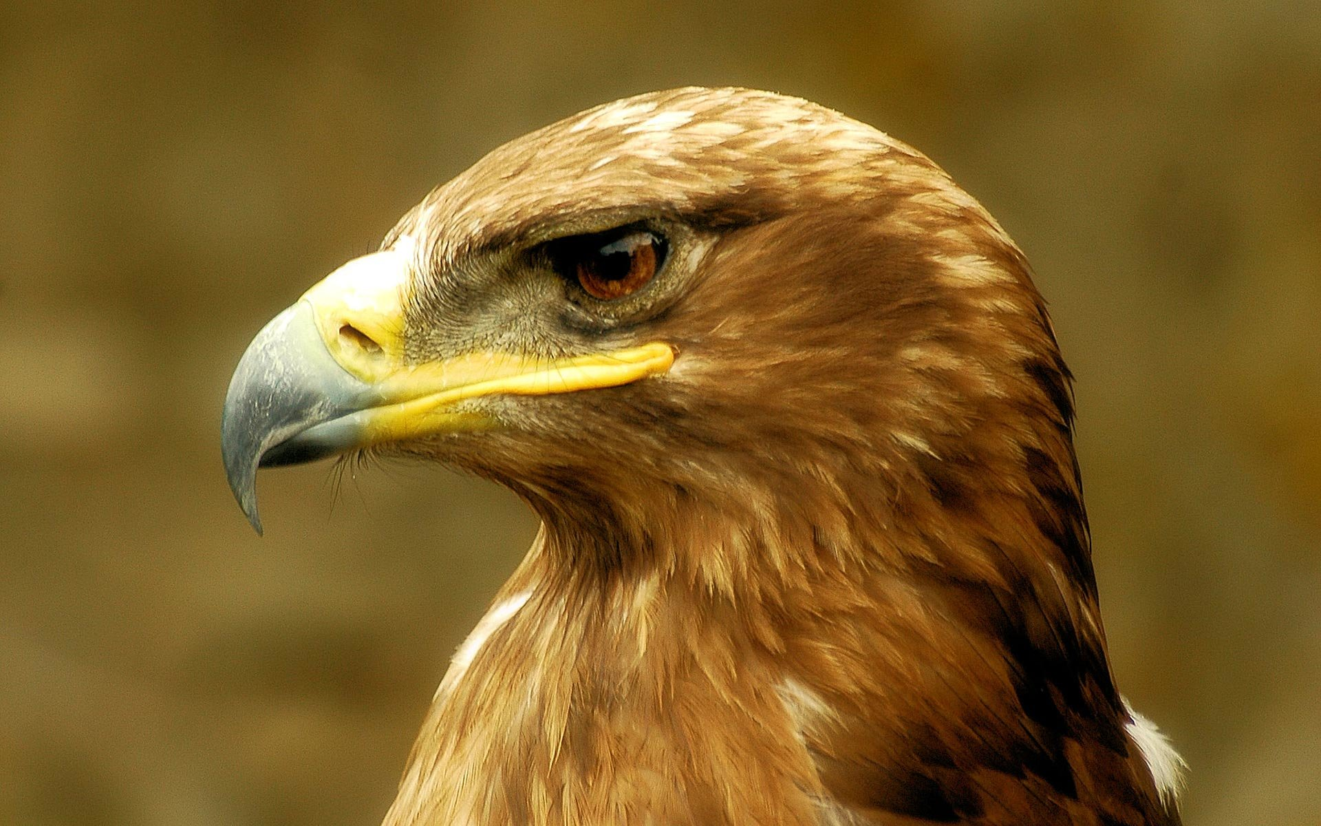 High resolution Golden Eagle hd 1920x1200 wallpaper ID:299817 for computer