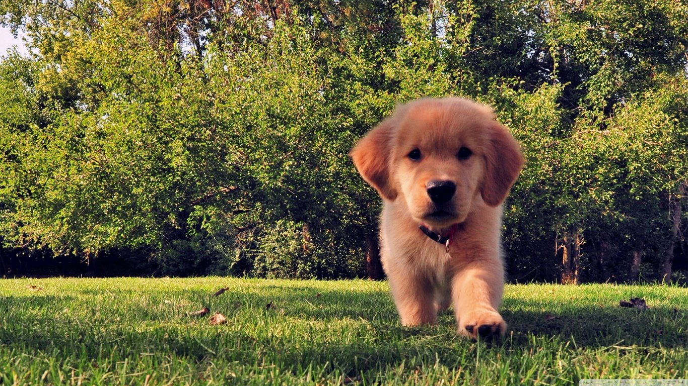 Awesome Golden Retriever free wallpaper ID:211801 for 1366x768 laptop computer