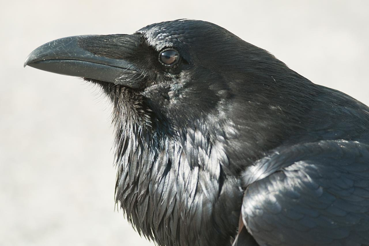 High resolution Raven hd 1280x854 background ID:397349 for PC