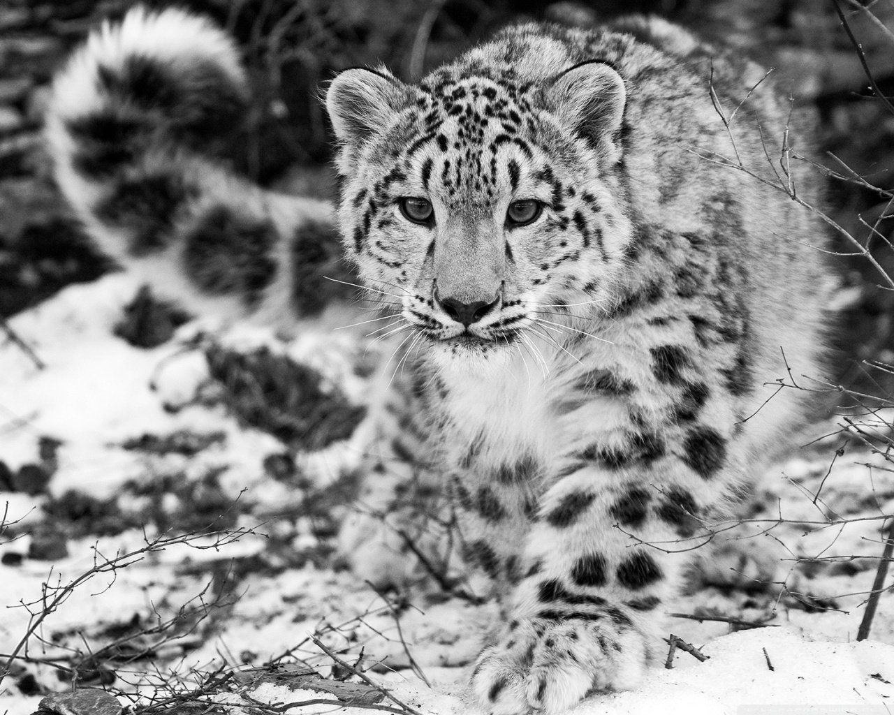 Best Snow Leopard wallpaper ID:34403 for High Resolution hd 1280x1024 computer