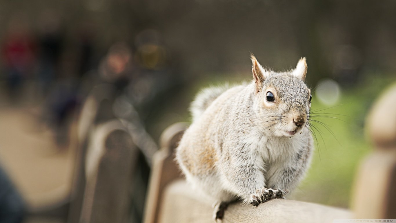 Free Squirrel high quality background ID:311895 for laptop desktop