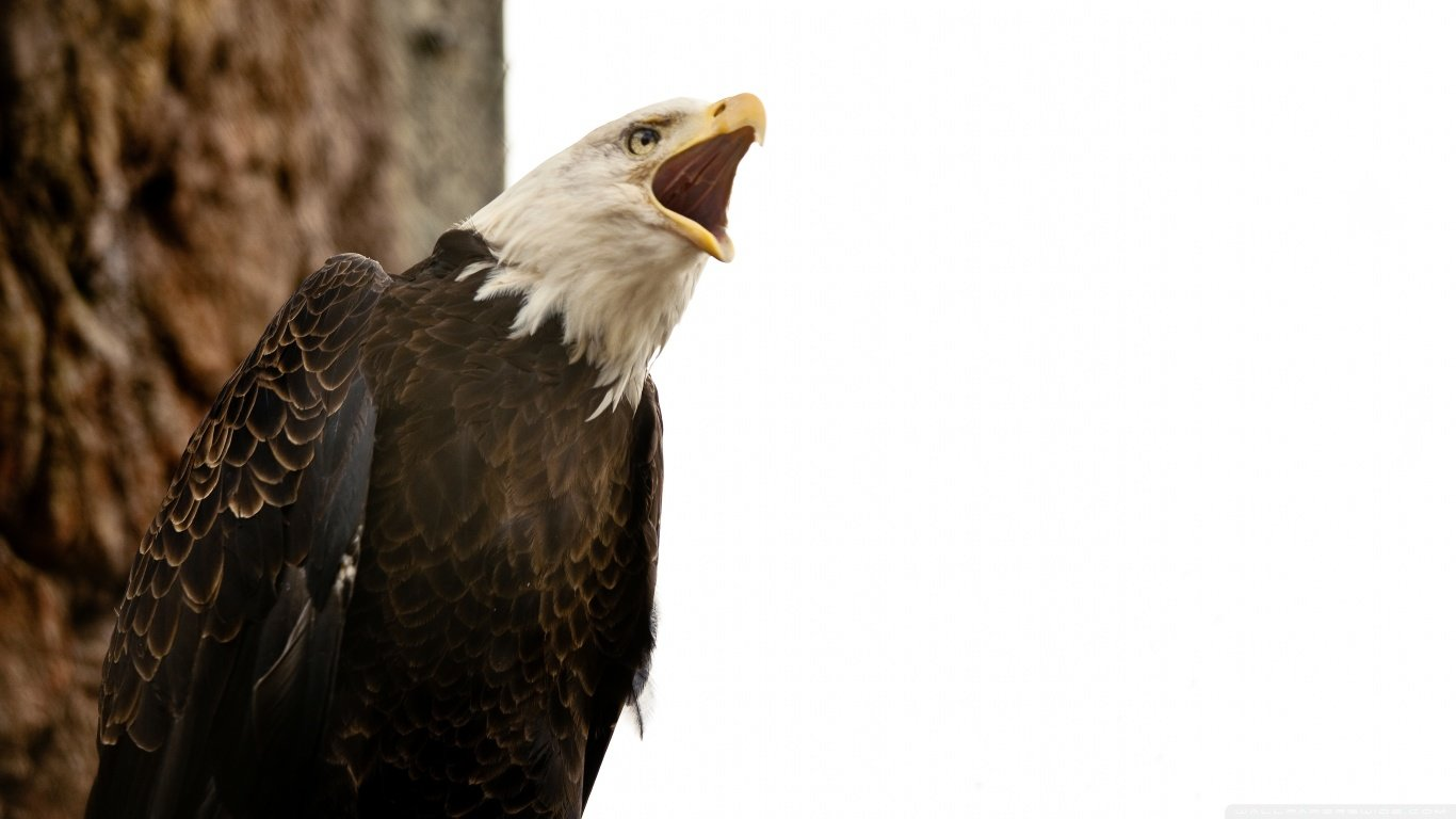 Awesome American Bald Eagle free background ID:68724 for laptop desktop