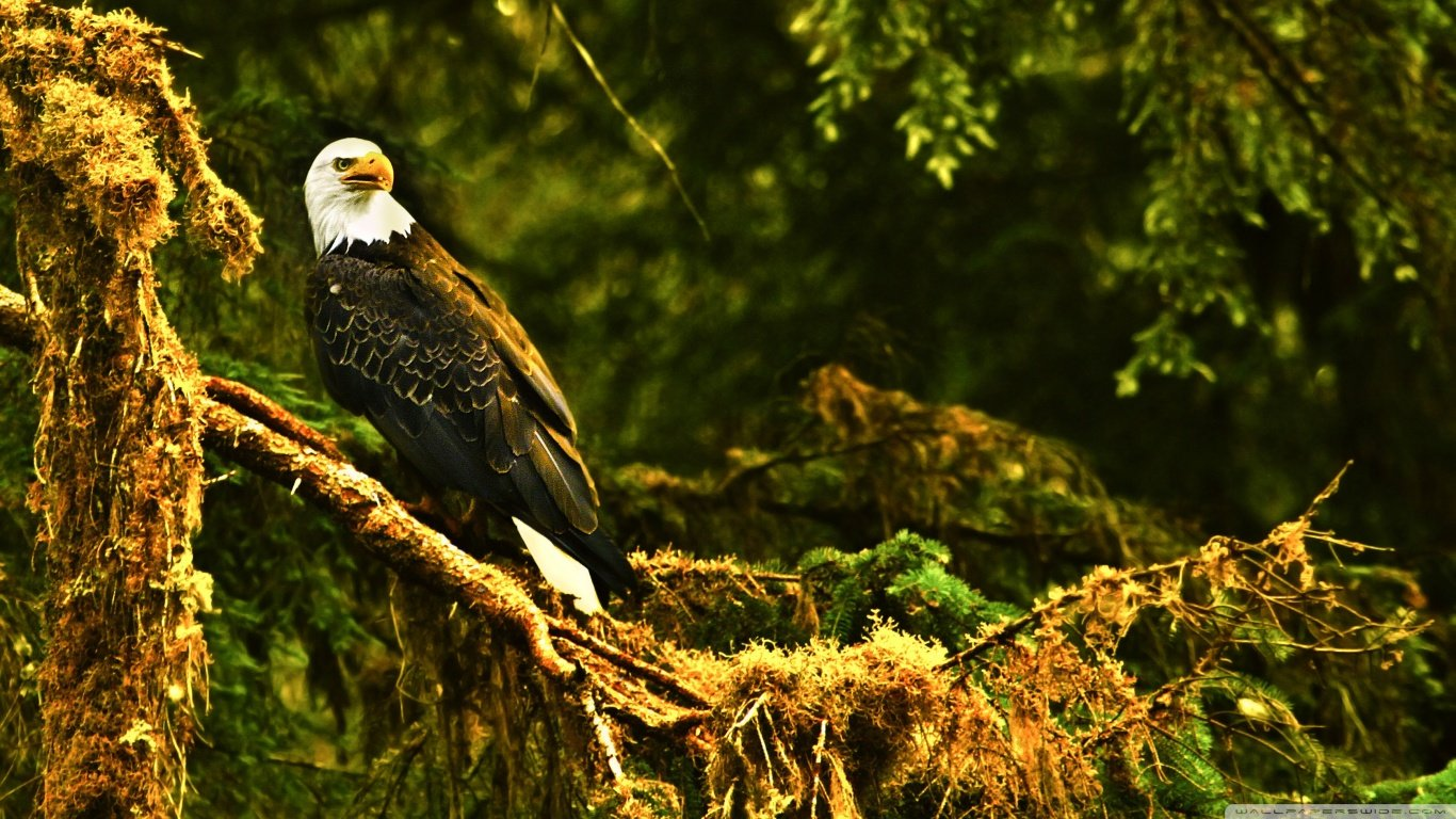 Best American Bald Eagle wallpaper ID:68682 for High Resolution laptop PC