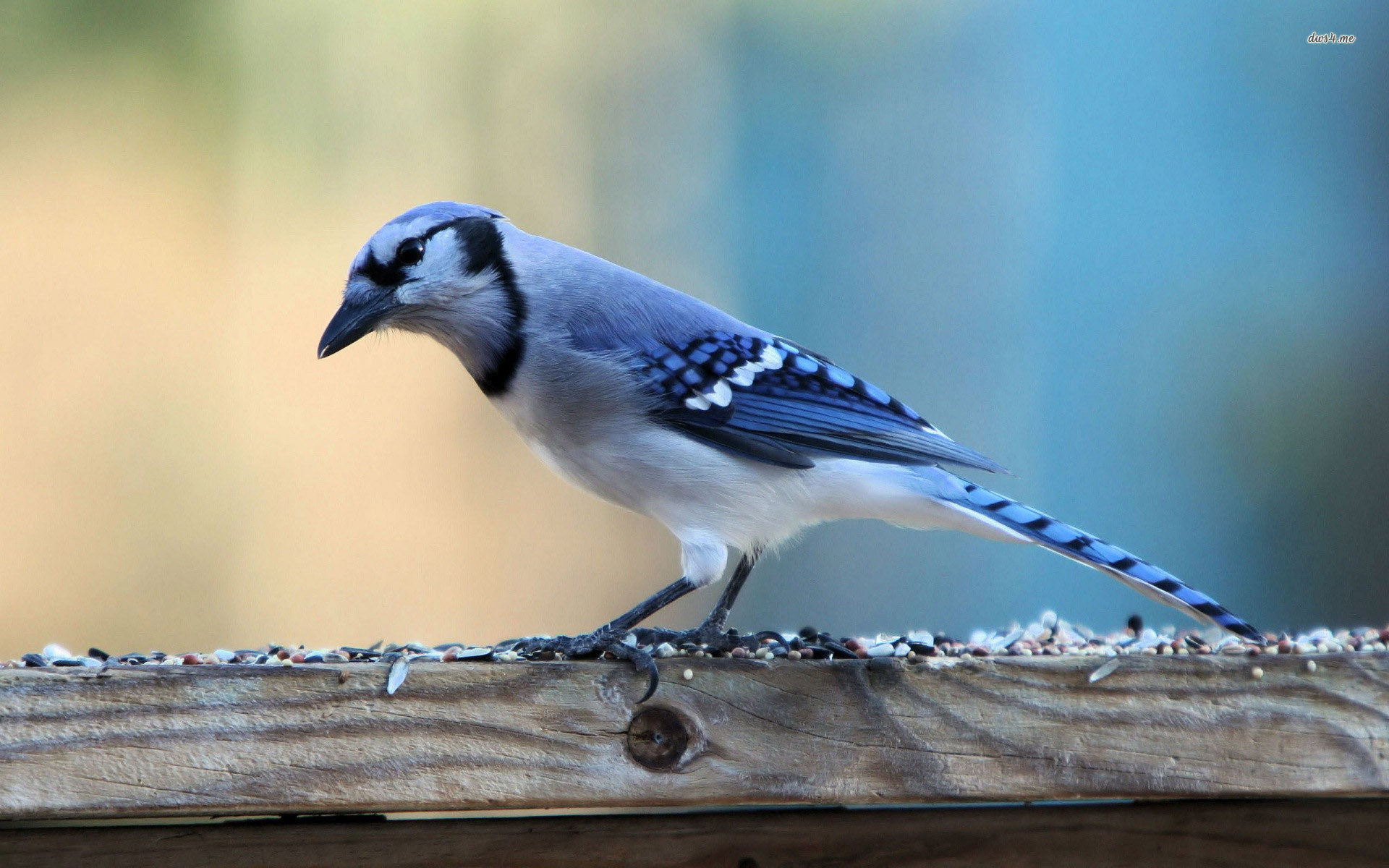 Free Blue Jay high quality background ID:158394 for hd 1920x1200 PC