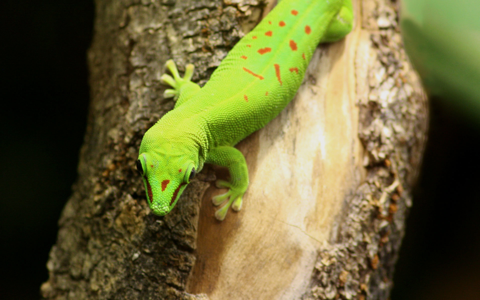 Free Gecko high quality wallpaper ID:114537 for hd 1920x1200 PC