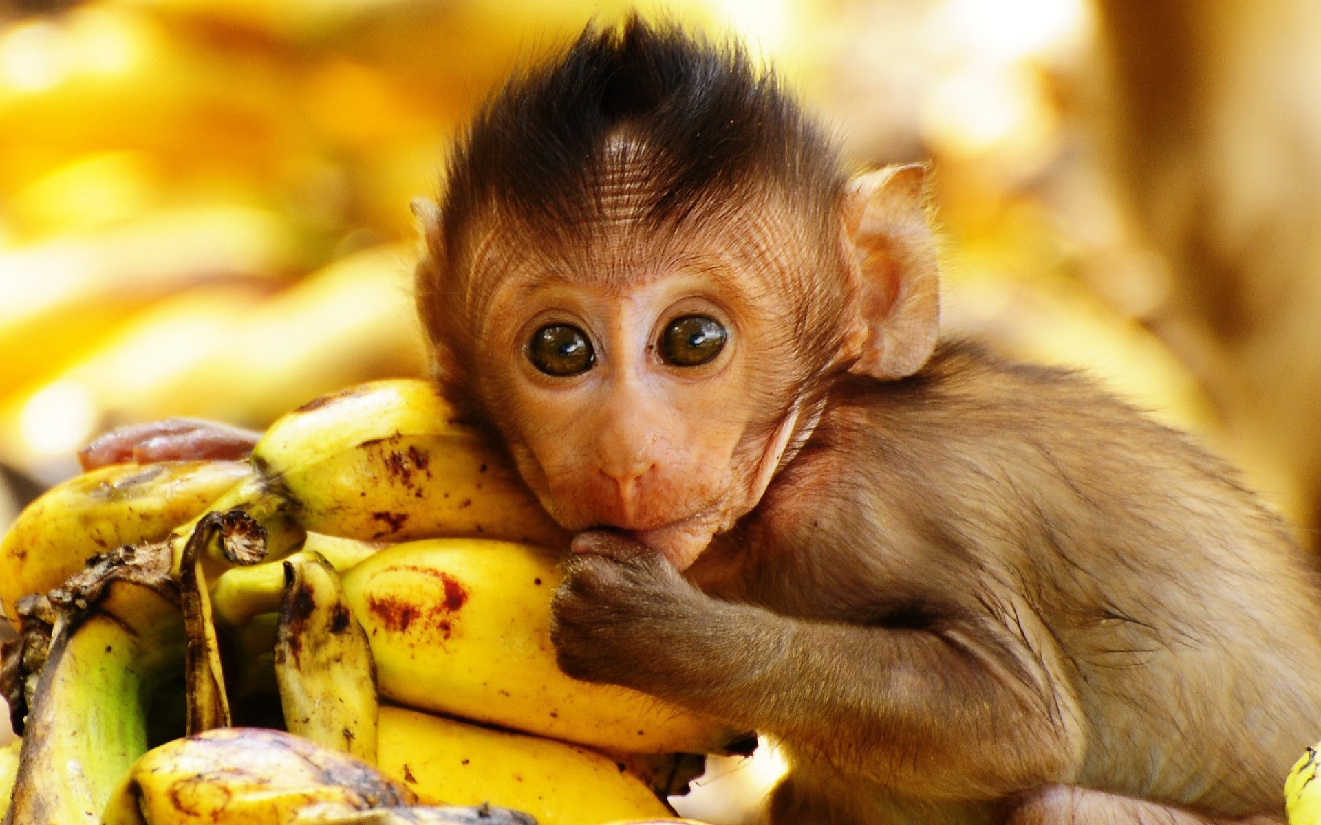 Awesome Monkey free background ID:127970 for hd 1920x1200 PC