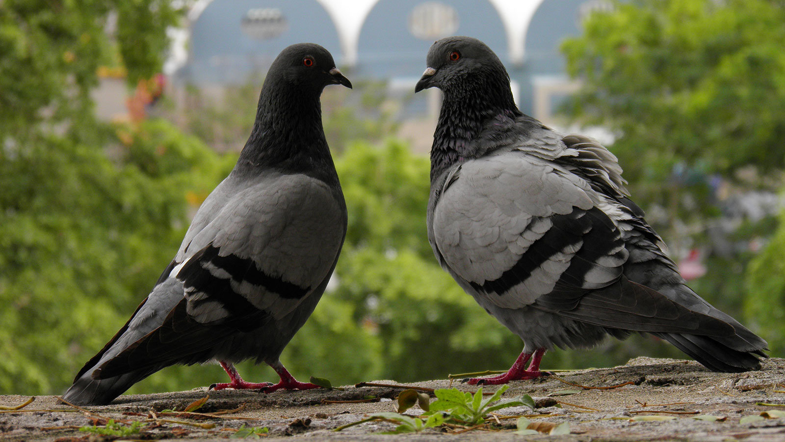 High resolution Pigeon hd 1600x900 wallpaper ID:212268 for desktop