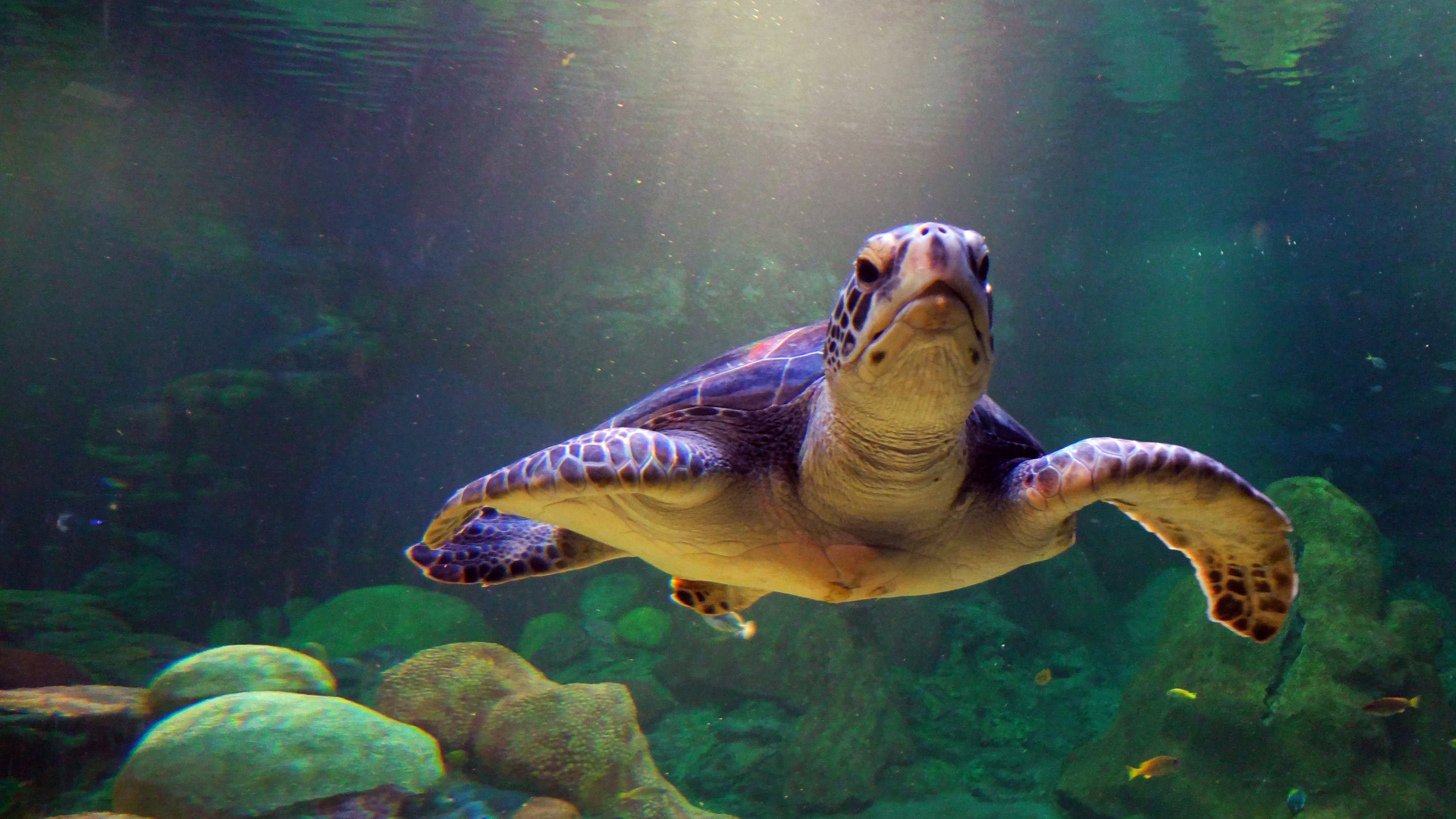 Best Sea Turtle background ID:150744 for High Resolution hd 2560x1440 PC