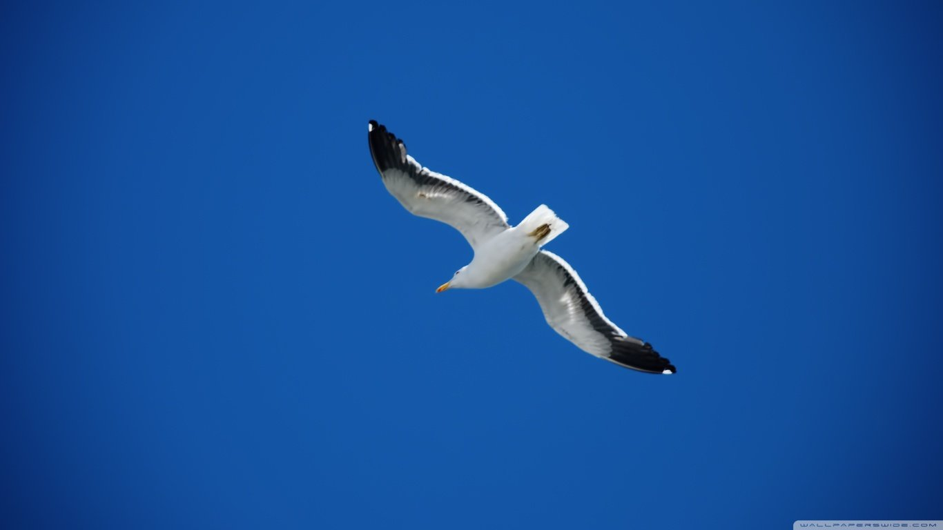 Free Seagull high quality background ID:66938 for hd 1366x768 desktop