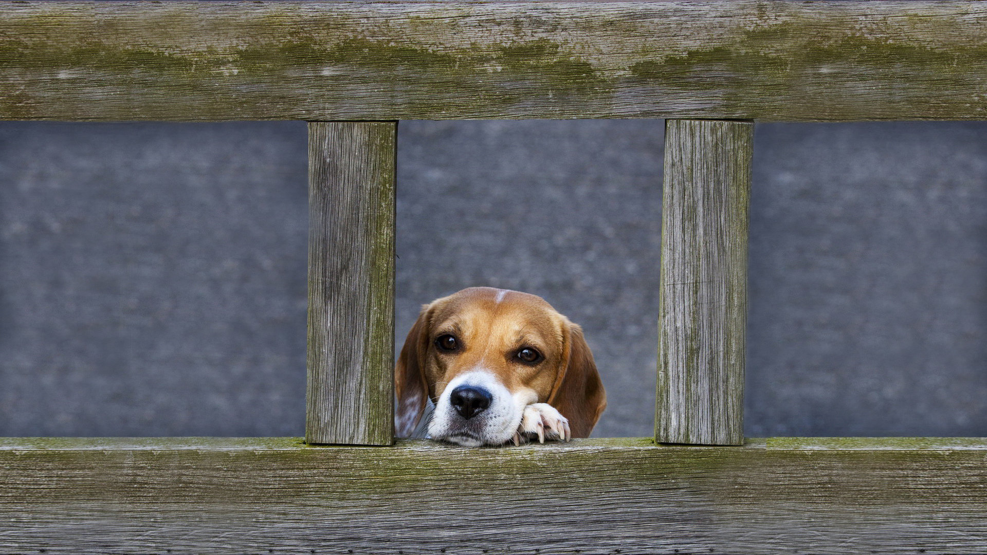Awesome Beagle free wallpaper ID:294257 for full hd 1920x1080 computer
