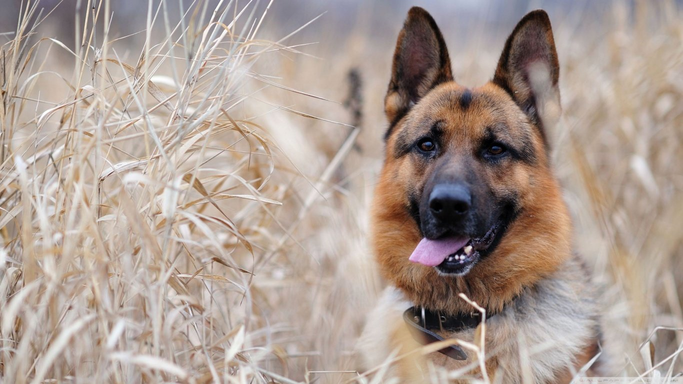 Download 1366x768 laptop German Shepherd desktop wallpaper ID:111134 for free