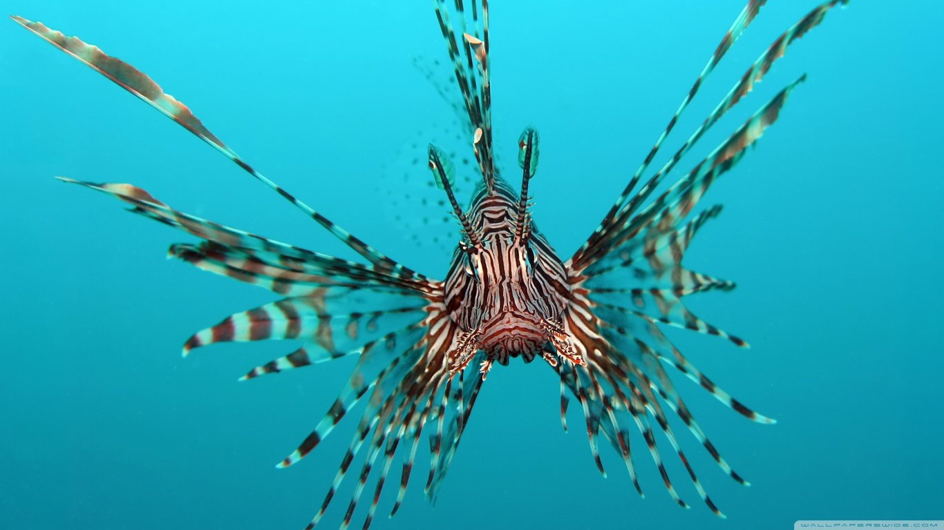 Awesome Lionfish free wallpaper ID:438215 for hd 1366x768 computer
