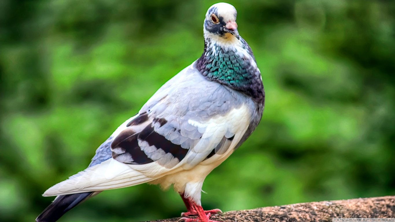 Free Pigeon high quality wallpaper ID:212267 for 1366x768 laptop desktop