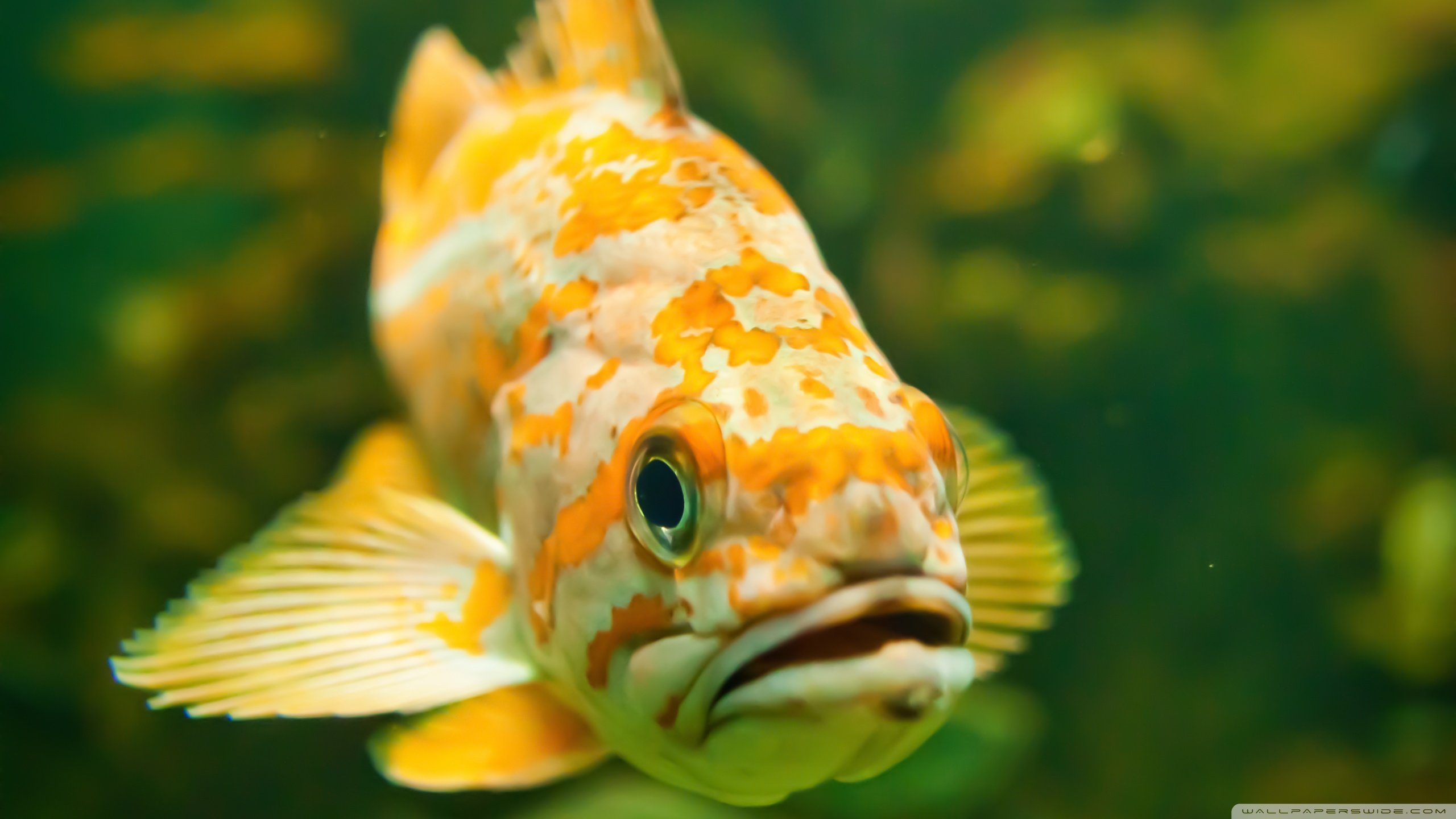 Download hd 2560x1440 Fish PC wallpaper ID:66375 for free