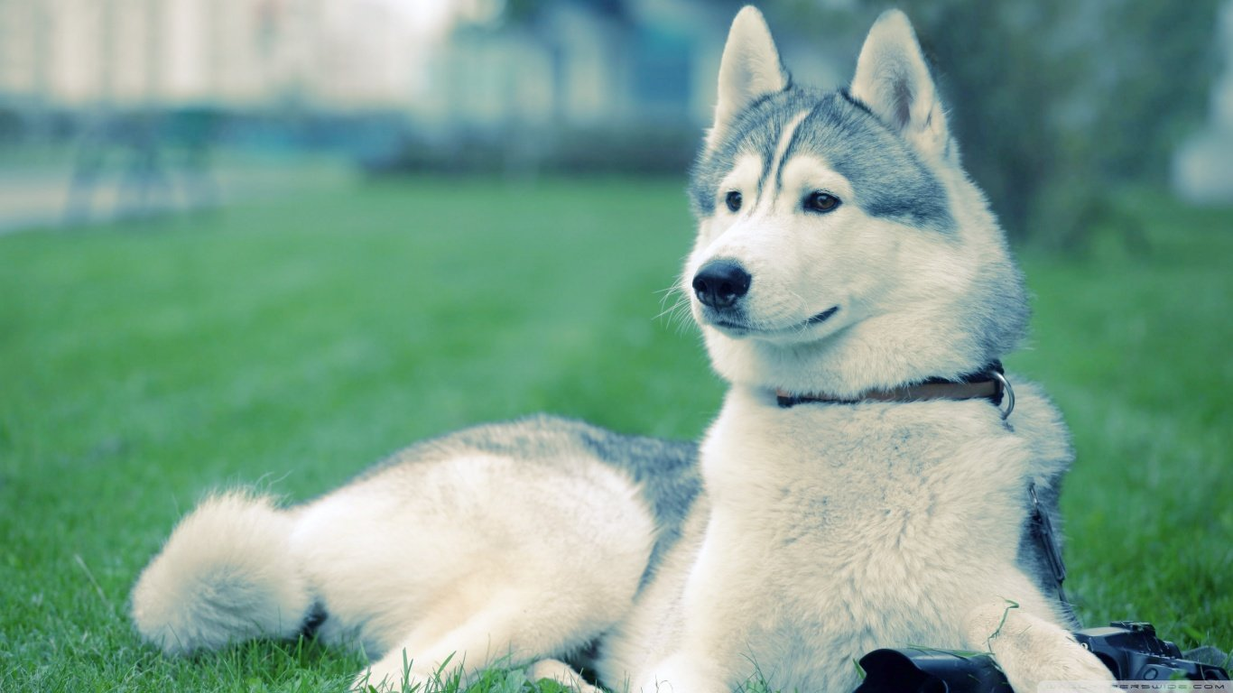 Free Husky high quality background ID:198436 for laptop PC