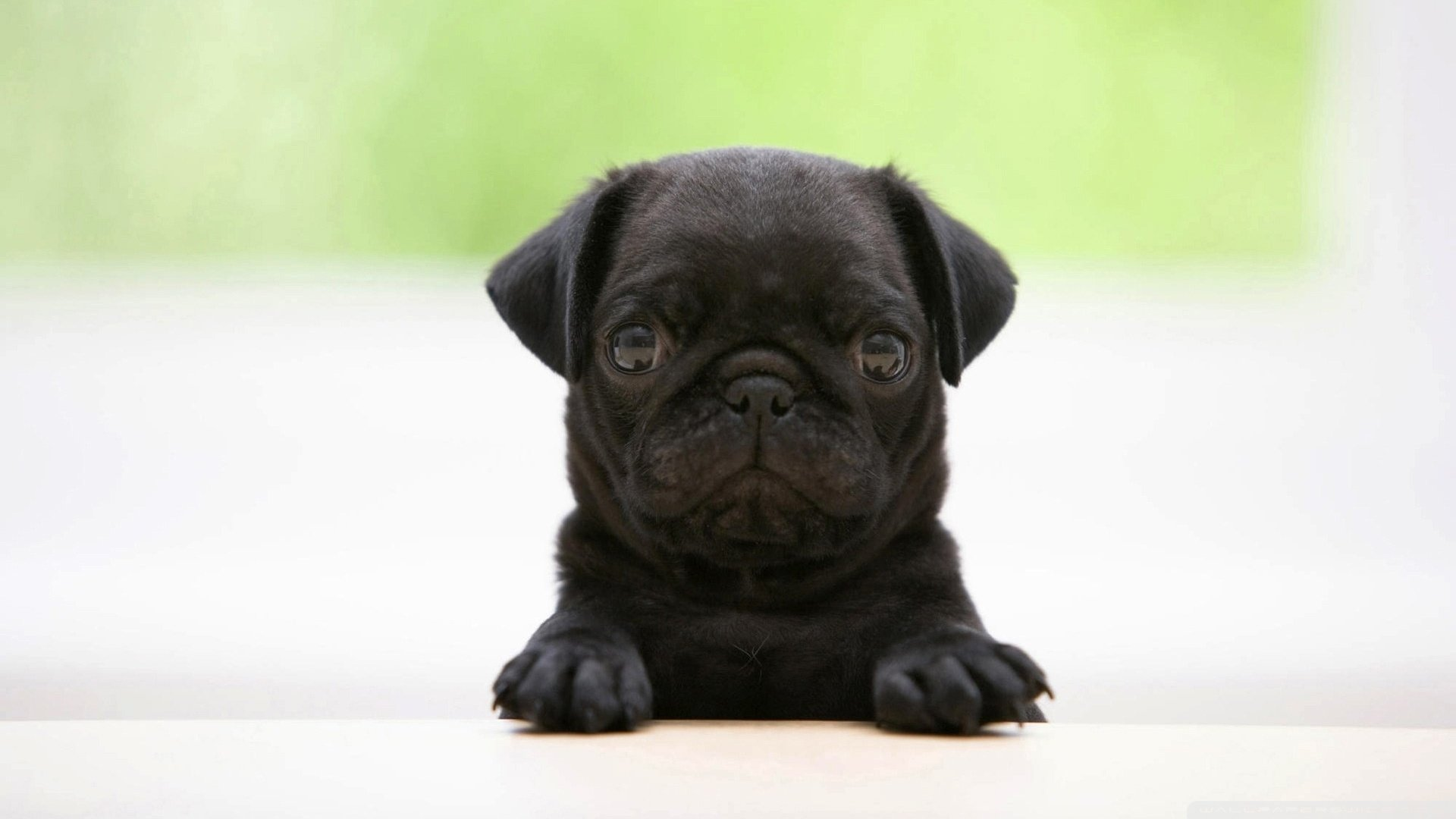 Free download Pug wallpaper ID:282860 full hd 1080p for computer