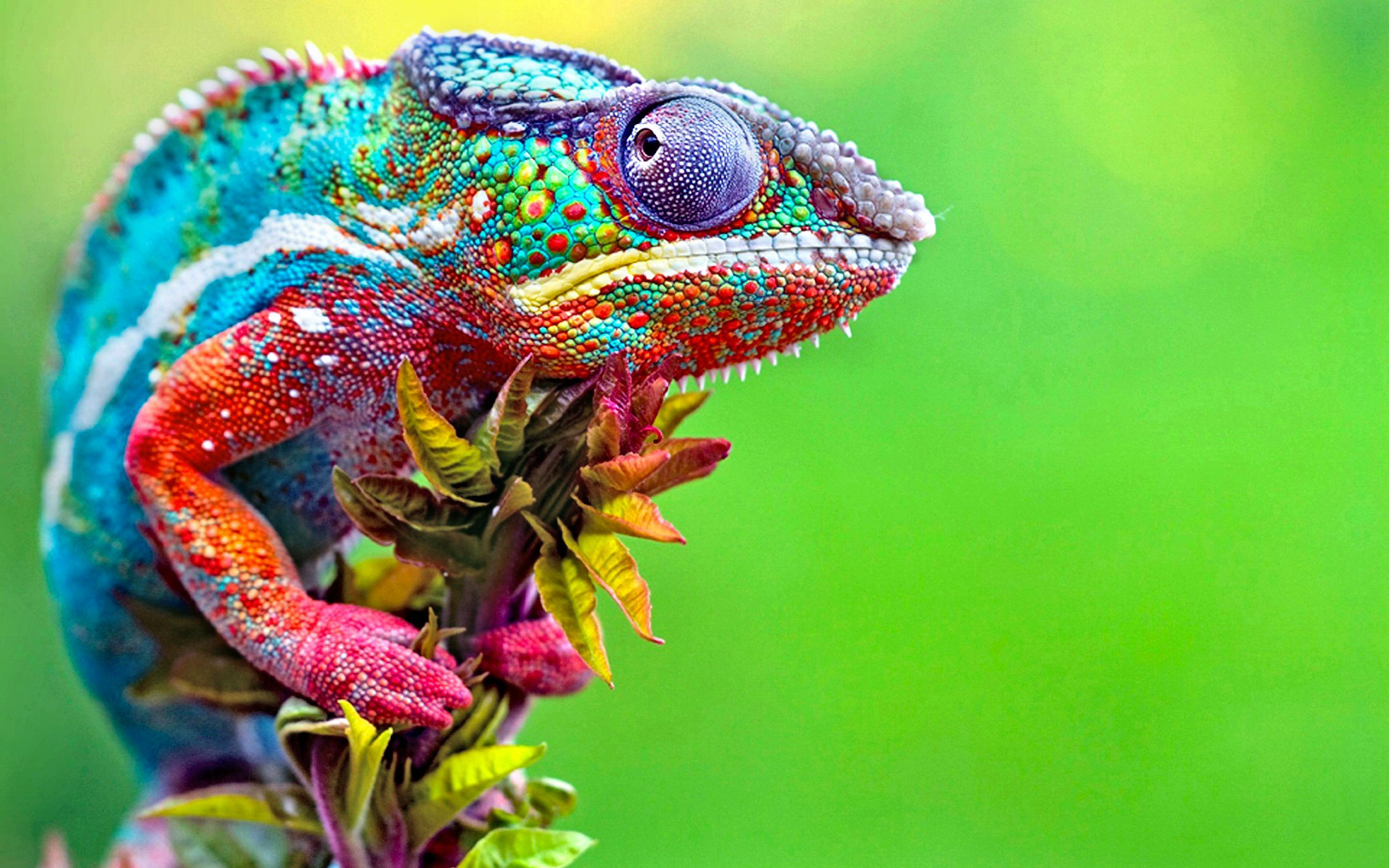 Free Chameleon high quality background ID:462616 for hd 2880x1800 PC
