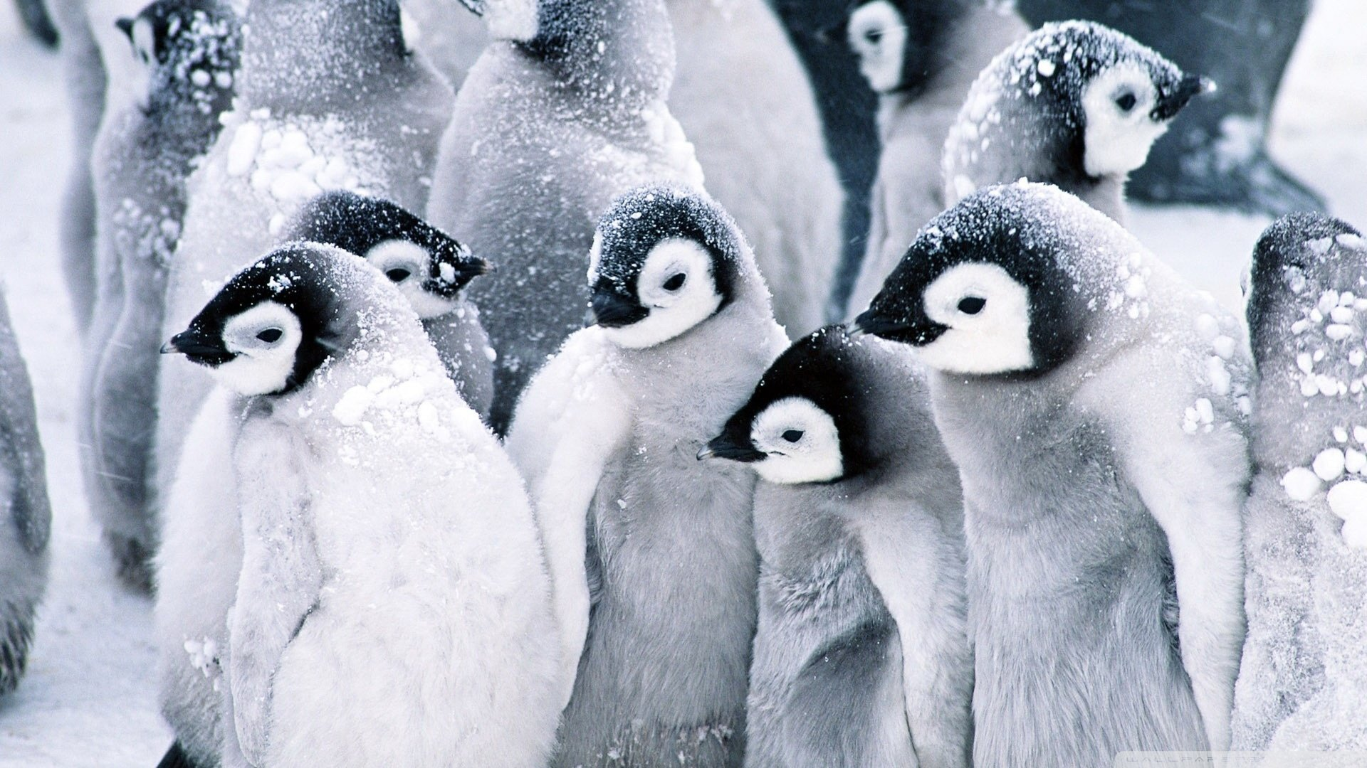 High resolution Penguin hd 1080p background ID:149316 for PC