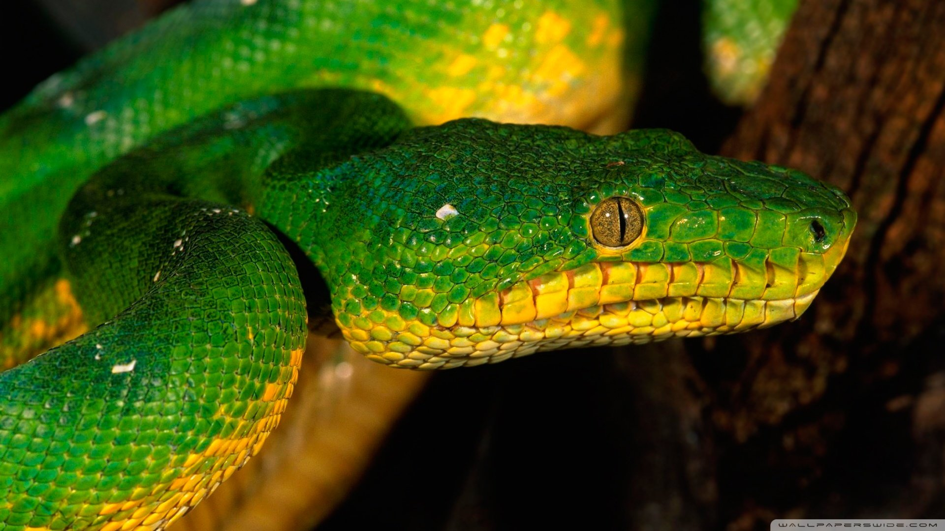 High resolution Snake full hd wallpaper ID:137327 for PC