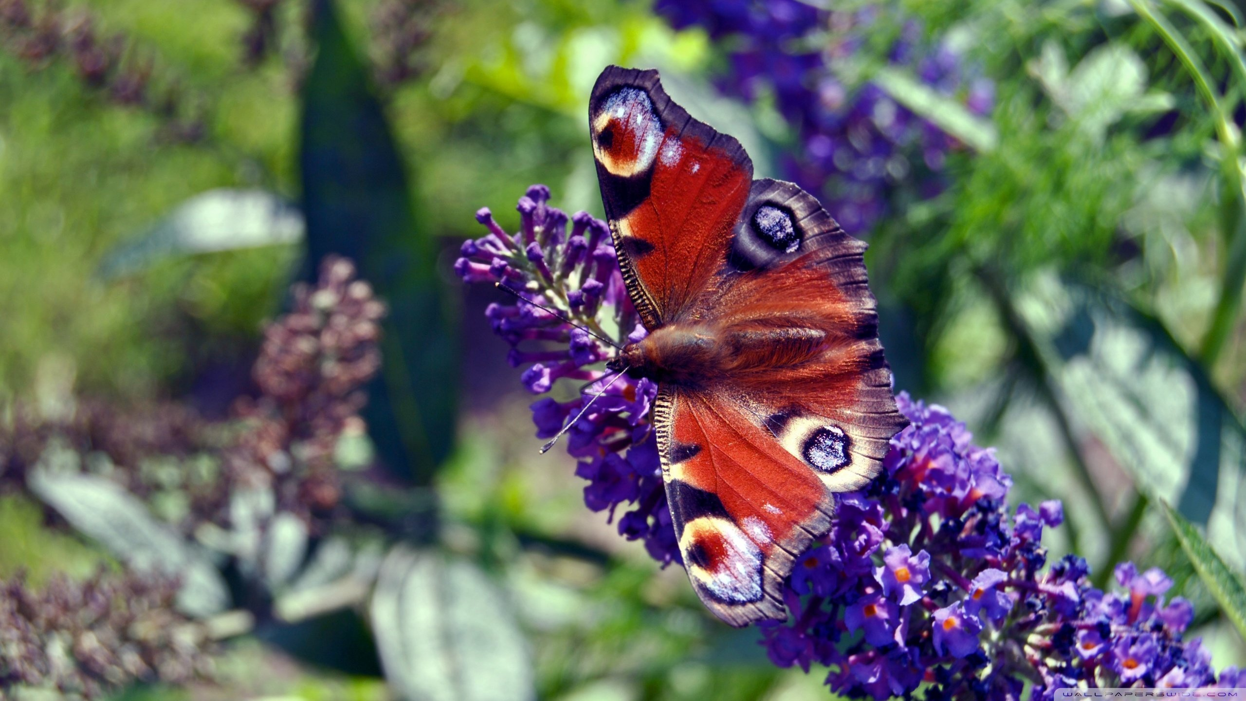 High resolution Butterfly hd 2560x1440 wallpaper ID:168623 for PC