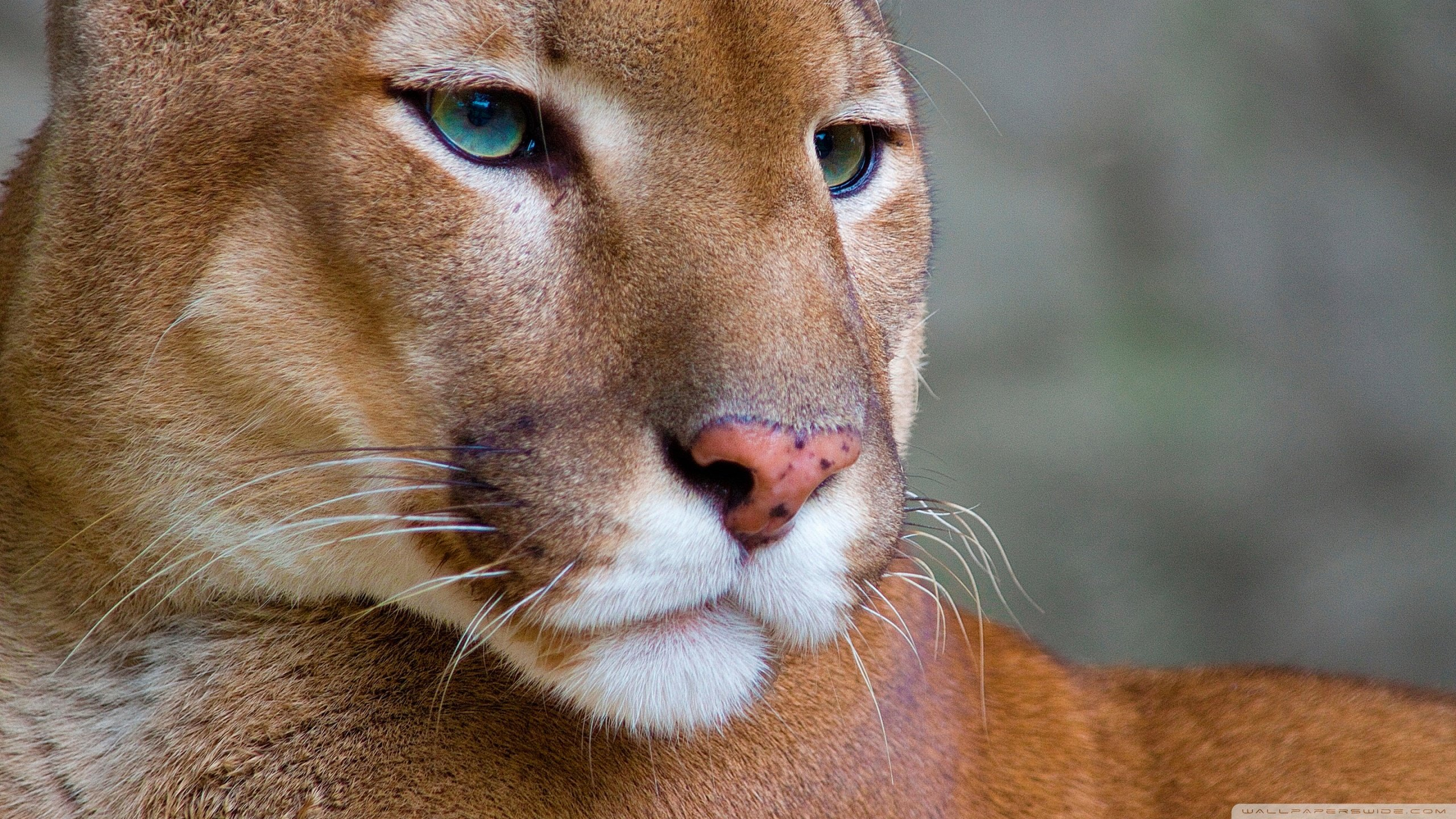 Awesome Cougar free background ID:81676 for hd 2560x1440 computer