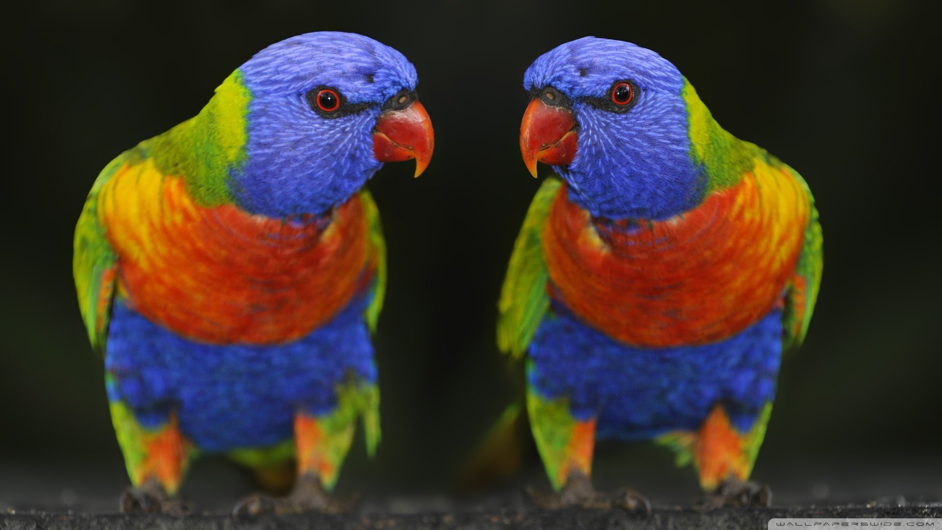 Free Rainbow Lorikeet high quality wallpaper ID:10165 for full hd 1080p PC