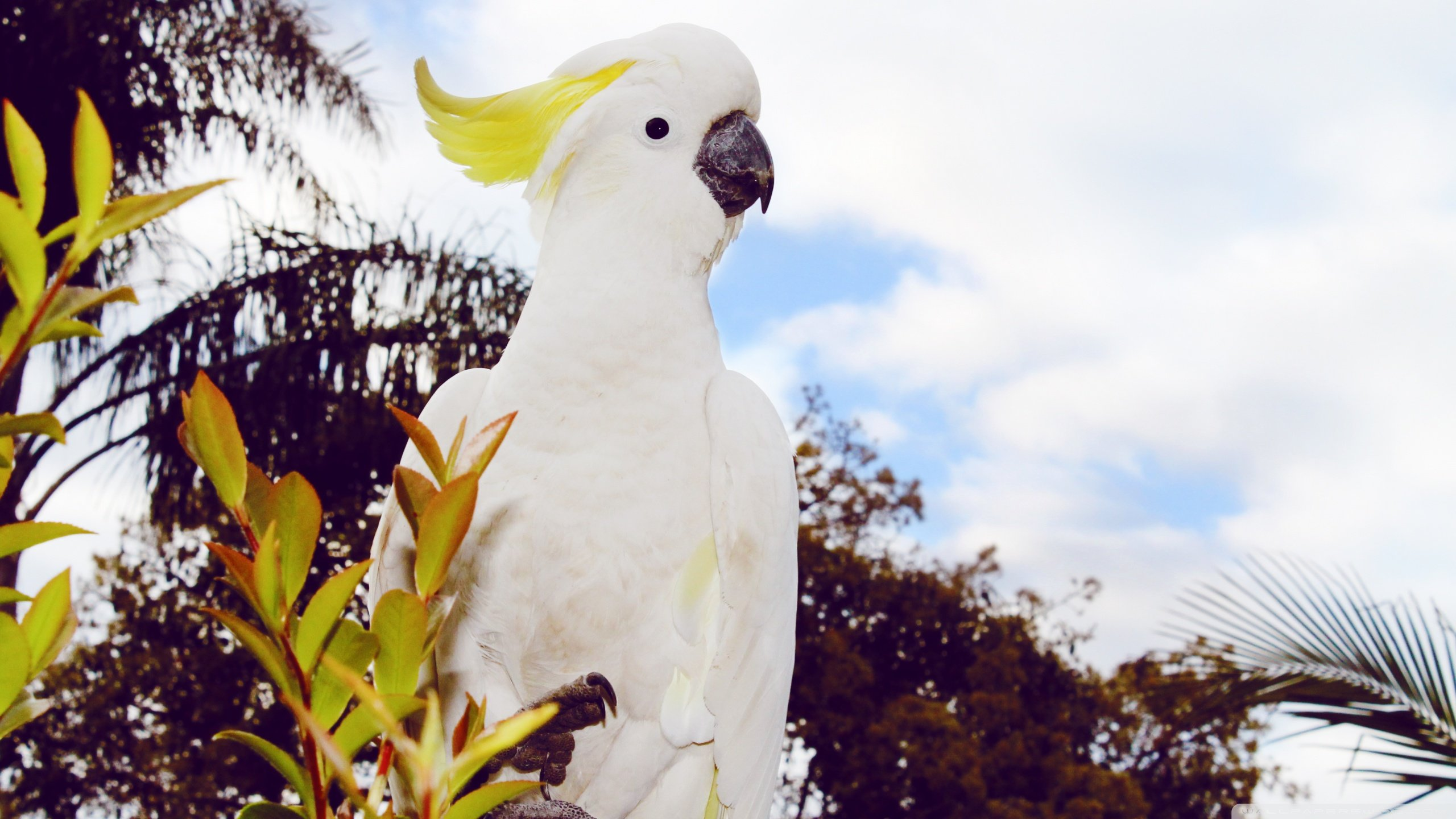 Free Sulphur-crested Cockatoo high quality background ID:130229 for hd 2560x1440 computer